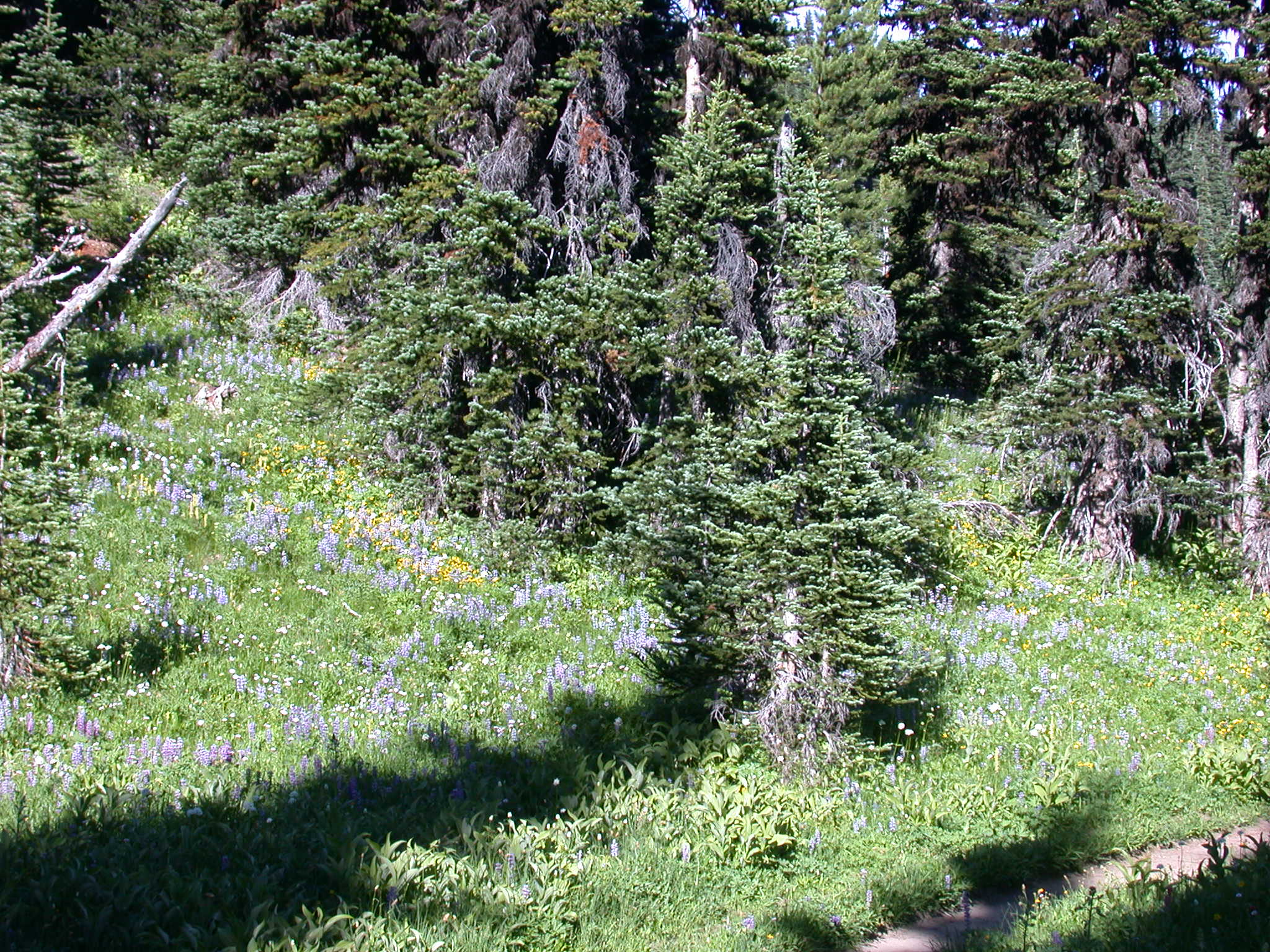 Flowery Meadow on Trail Near Sunrise Camp on Mount Rainier