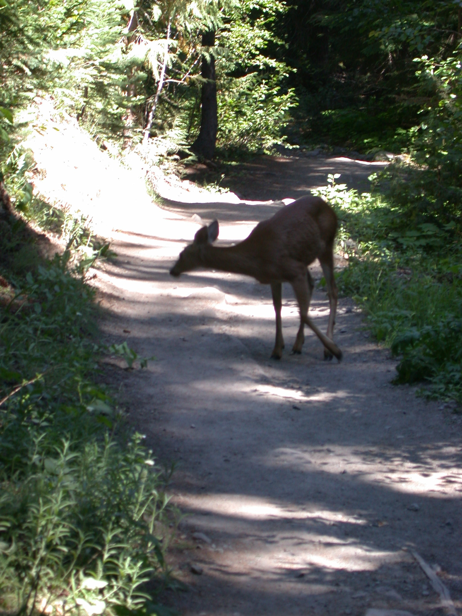 Deer on Glacier Trail of Mount Rainier