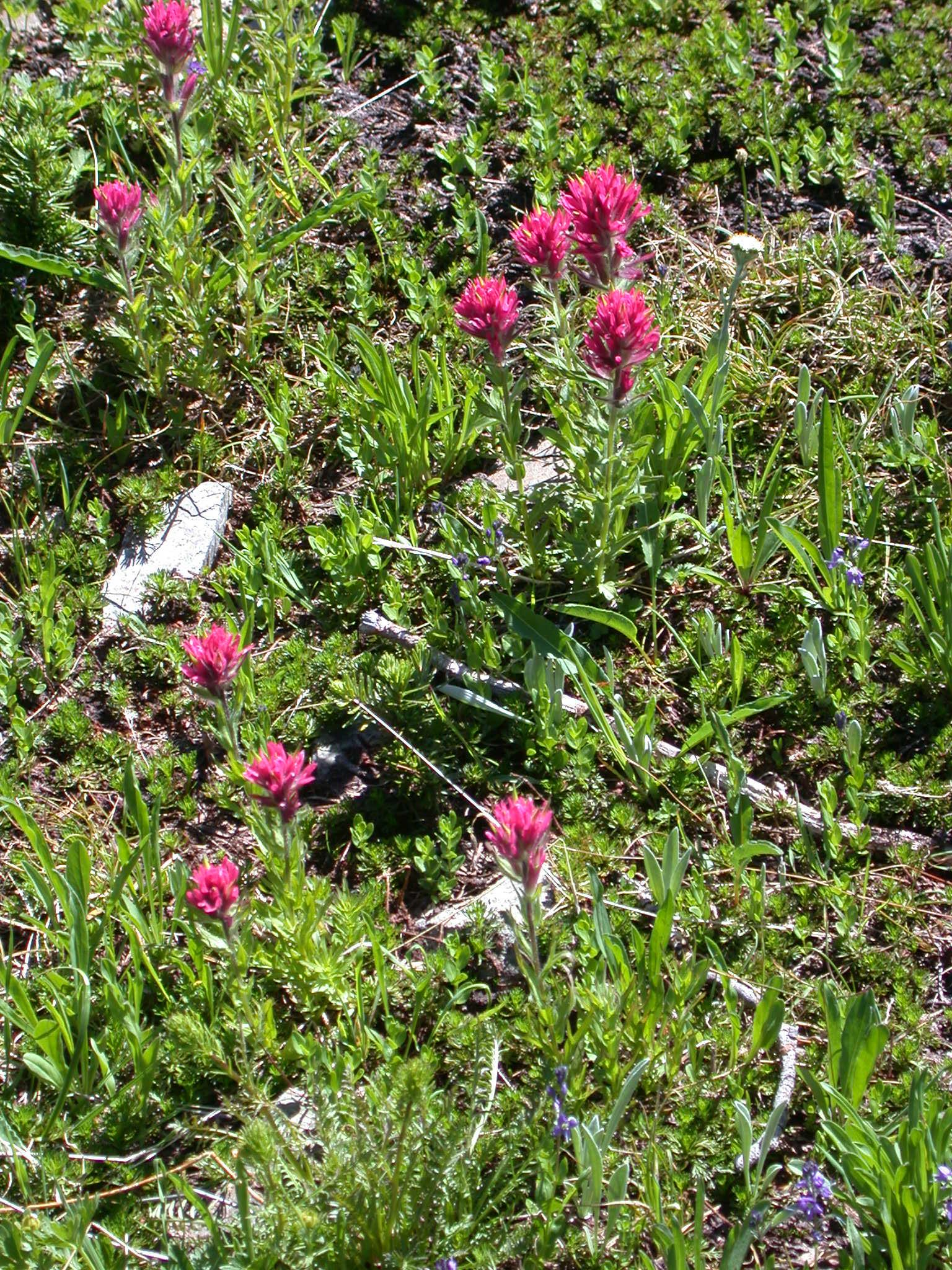 Indian Paintbrush Flowers on Lower Trail to Burroughs Peaks of Mount Rainier