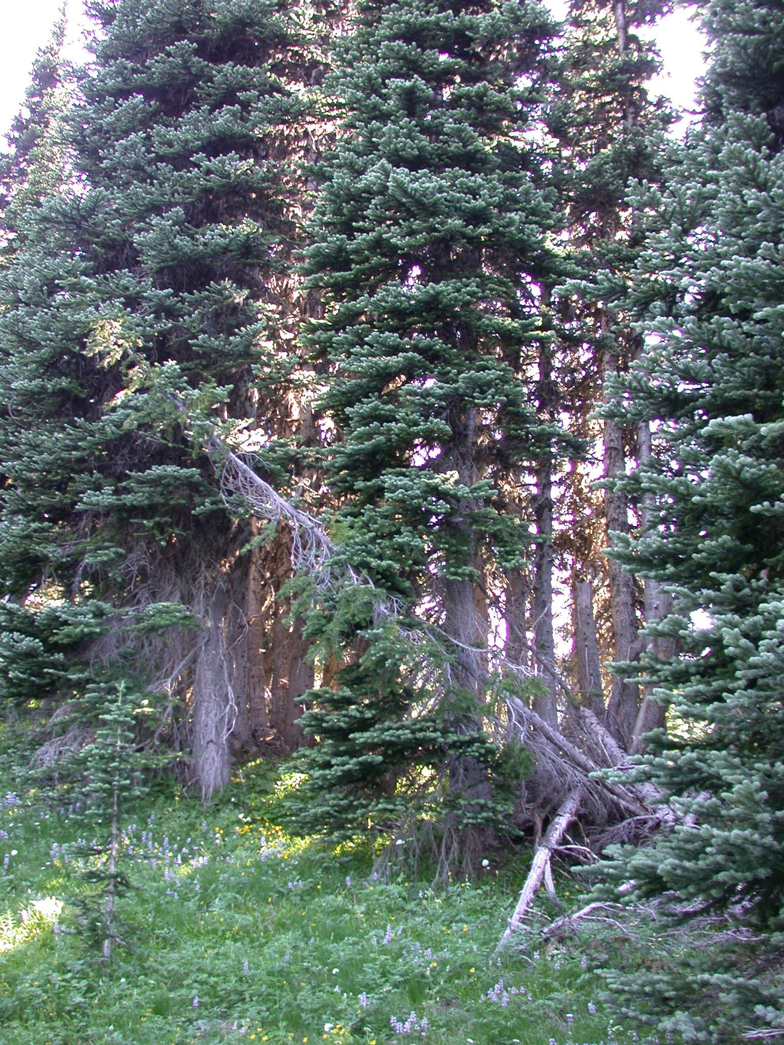 Pines Around Flowery Meadow on Trail Back to Sunrise Camp of Mount Rainier