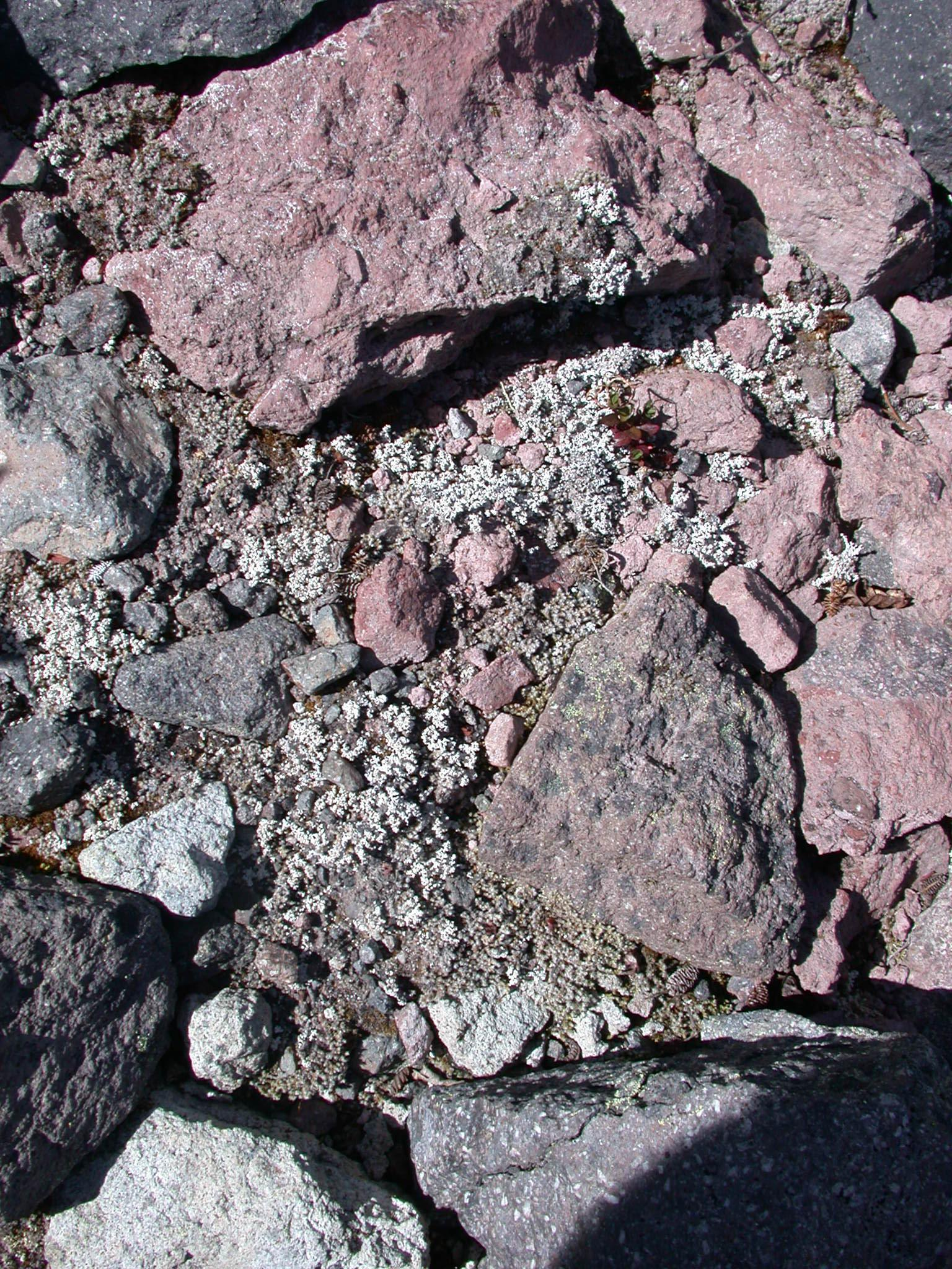White Lichen on Floor of Glacial Canyon on Mount Rainier