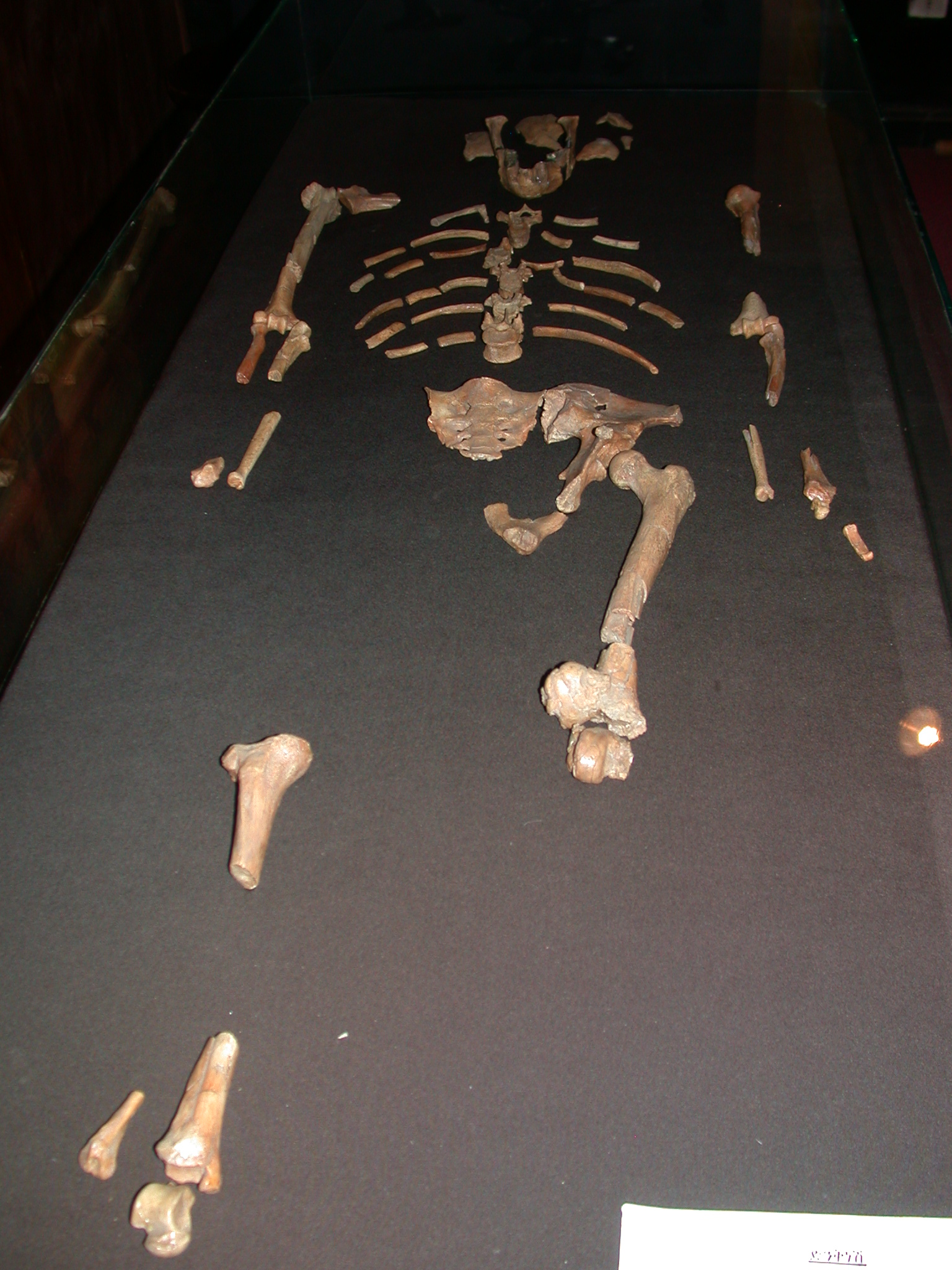 Replica of Fossil Bones of Lucy at National Museum in Addis Ababa, Ethiopia