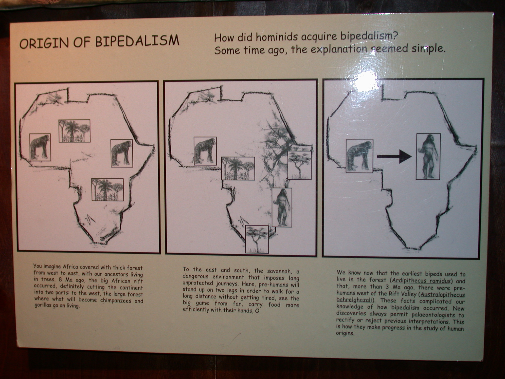 Origin of Bipedalism Theory, National Museum, Addis Ababa, Ethiopia
