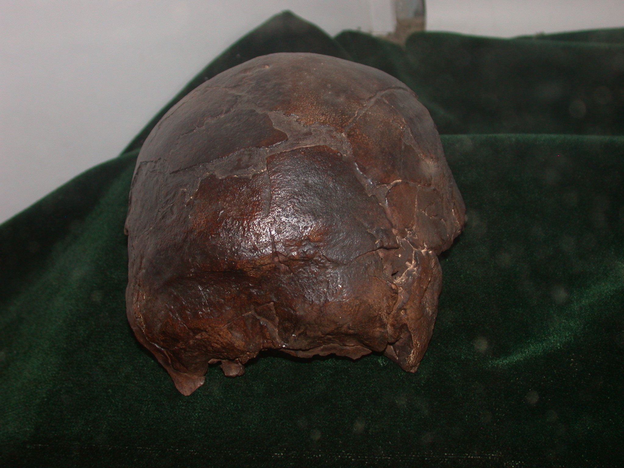 Omo I Homo Sapiens Skull Replica at National Museum, Addis Ababa, Ethiopia