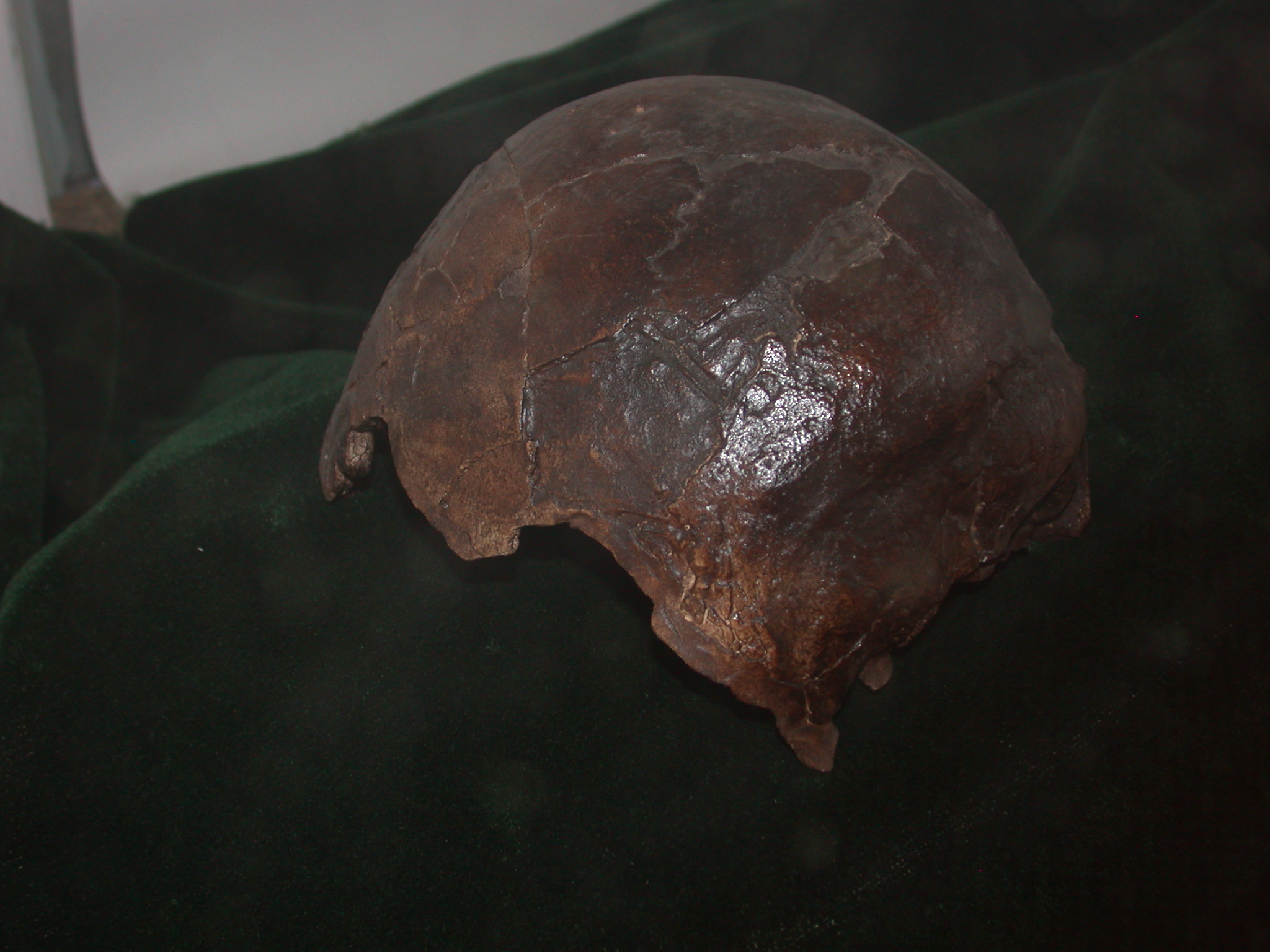 Omo I Homo Sapiens Skull Replica View 2 at National Museum, Addis Ababa, Ethiopia