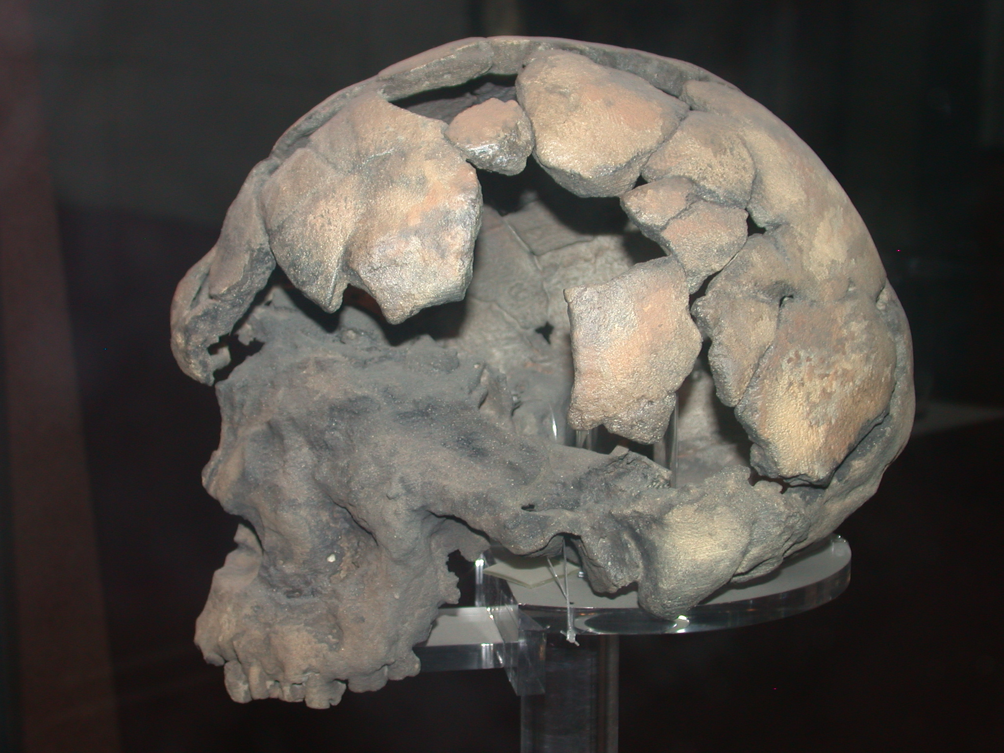Herto Idaltu Skull Replica View 1, National Museum, Addis Ababa, Ethiopia