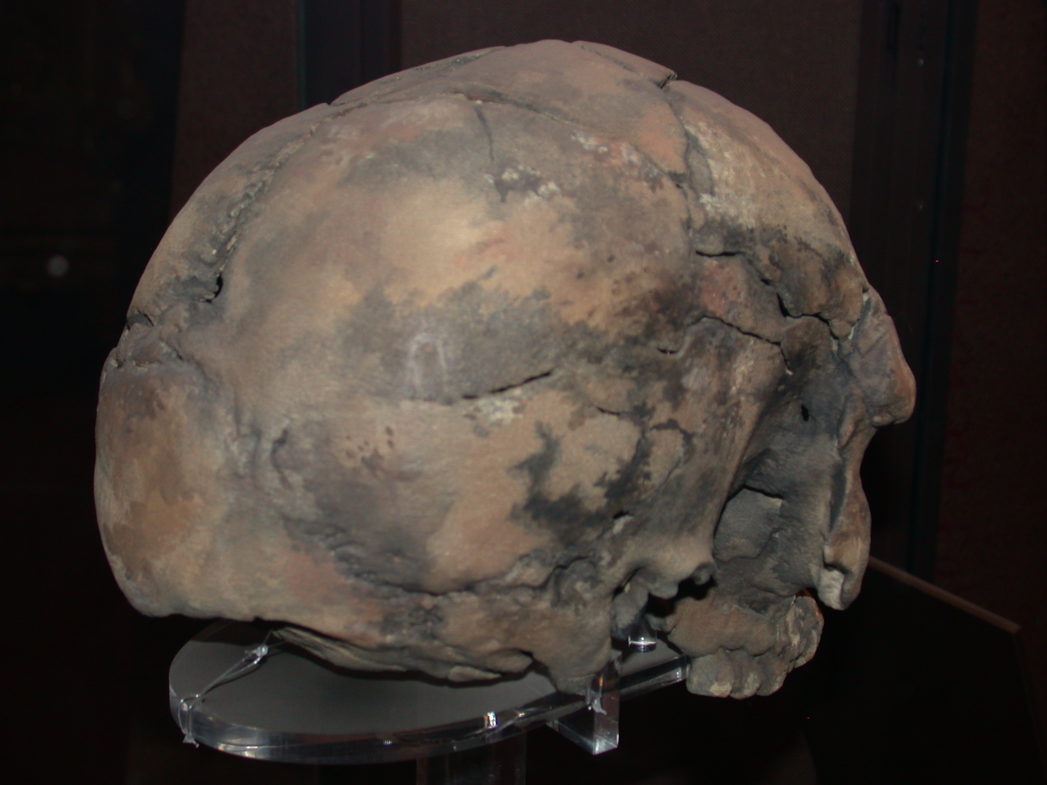 Herto Idaltu Skull Replica View 2, National Museum, Addis Ababa, Ethiopia