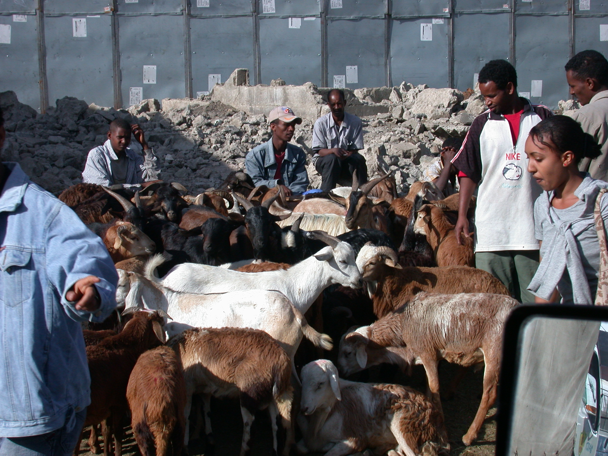 Goat Herd Blocks Road, Suburban Addis Ababa, Ethiopia