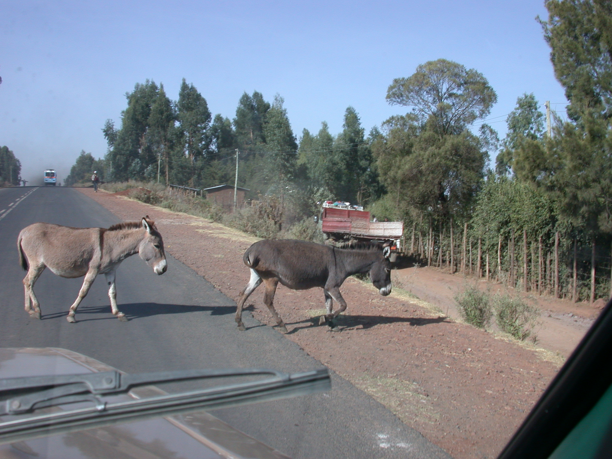 Donkeys Block Road, Route From Addis Ababa to Melka Kunture, Ethiopia