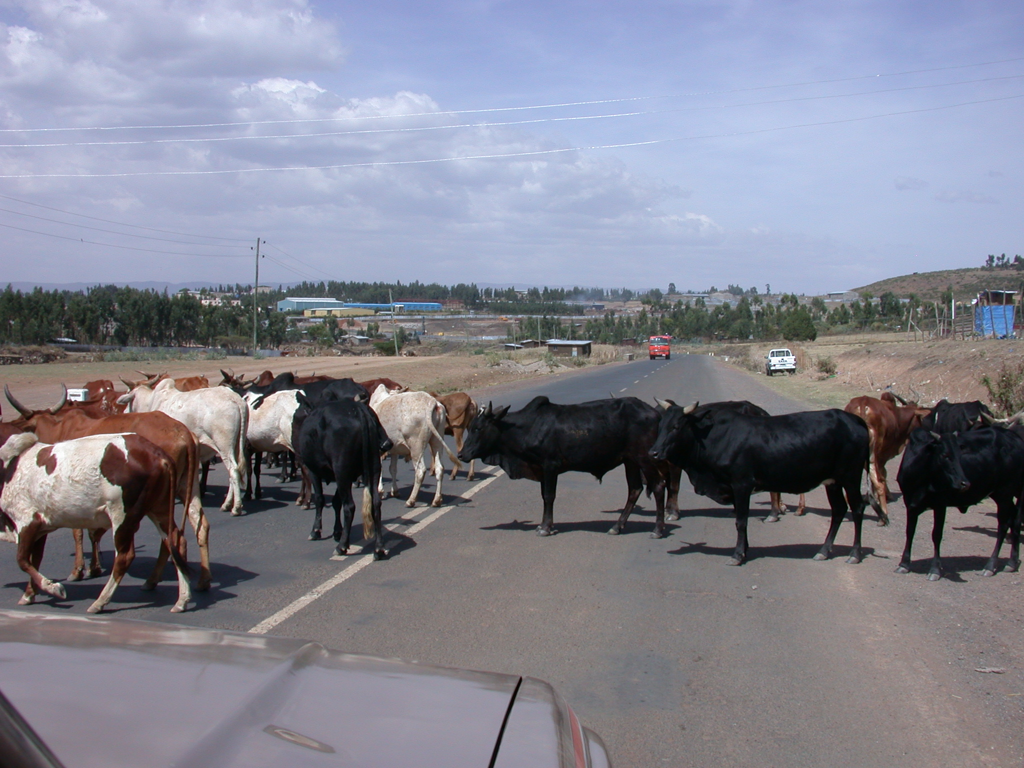 Cows Blocking Street, Route Between Tiya and Addis Ababa, Ethiopia