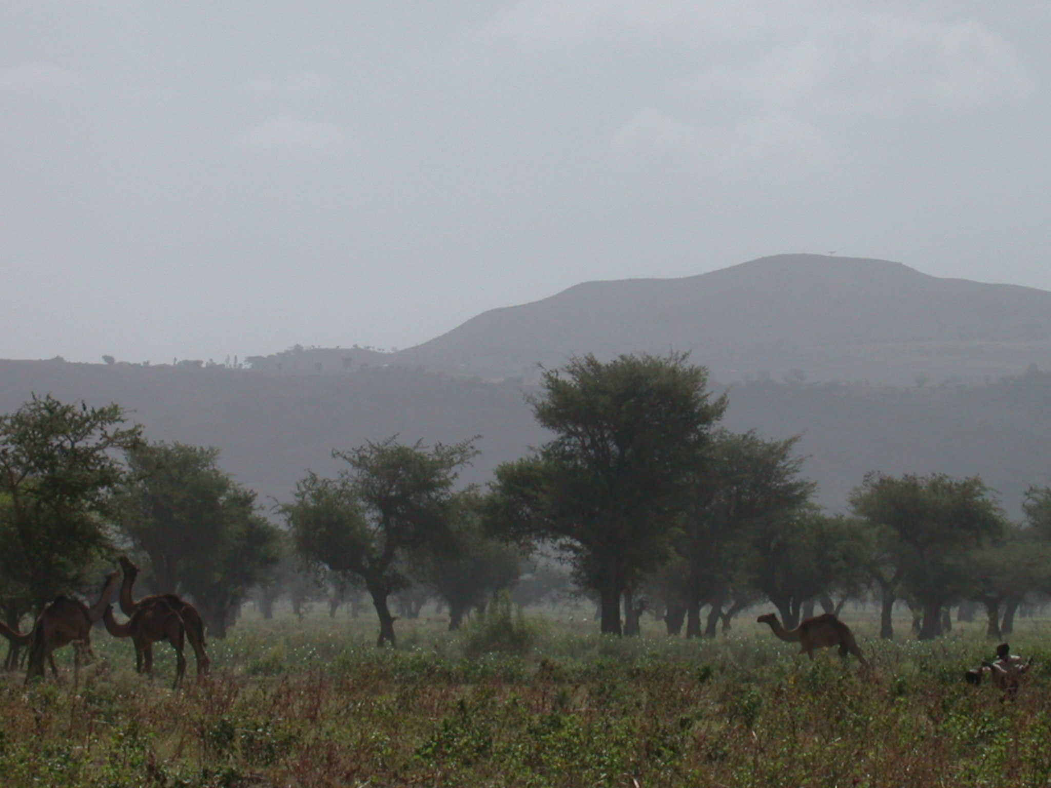 Herd of Camels Passing Broken Bus on Route Between Addis Ababa and Awash Saba, Ethiopia