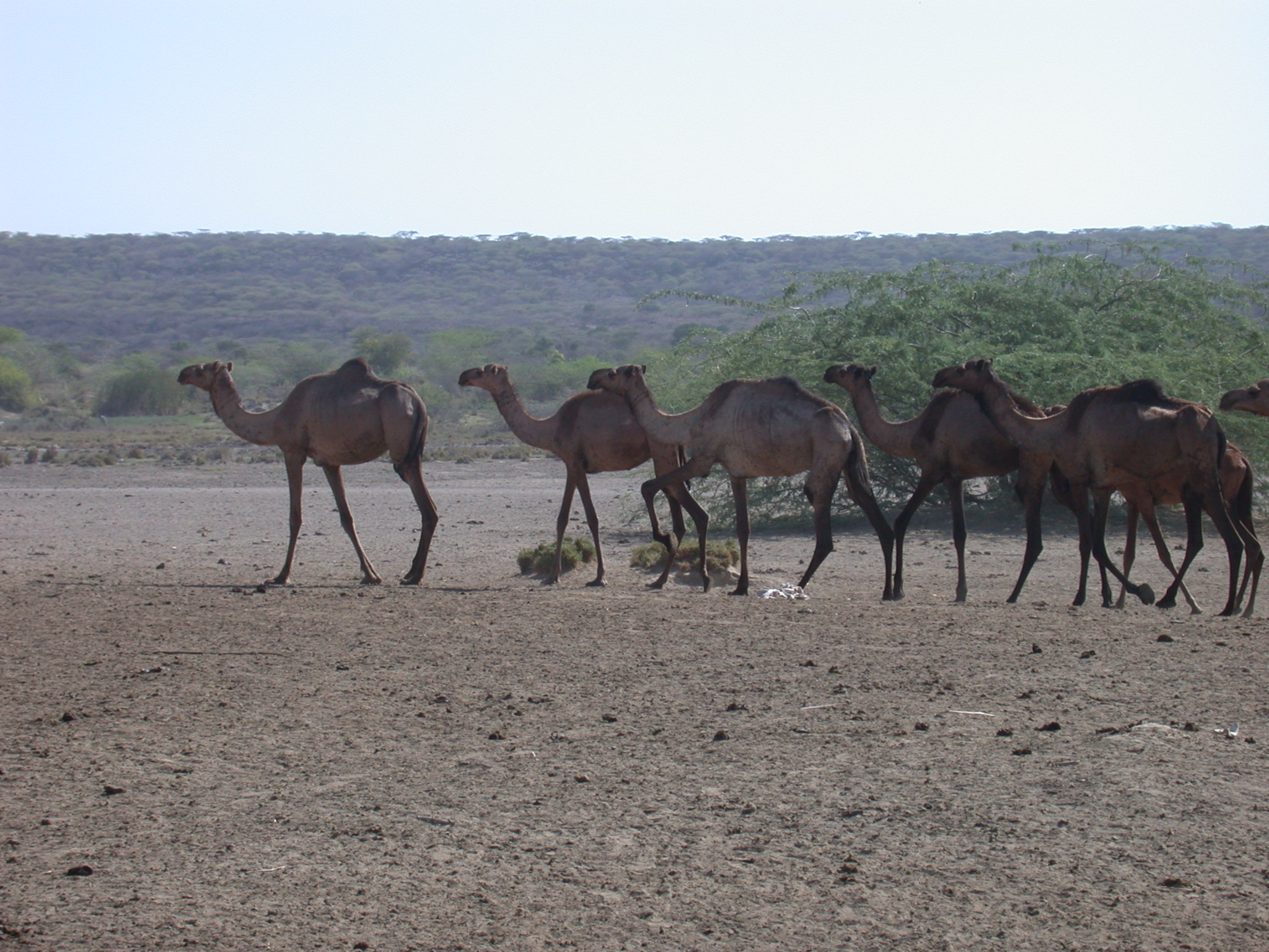 Camel Herd at Hot Springs Near Bilen Lodge, Afar, Awash, Ethiopia