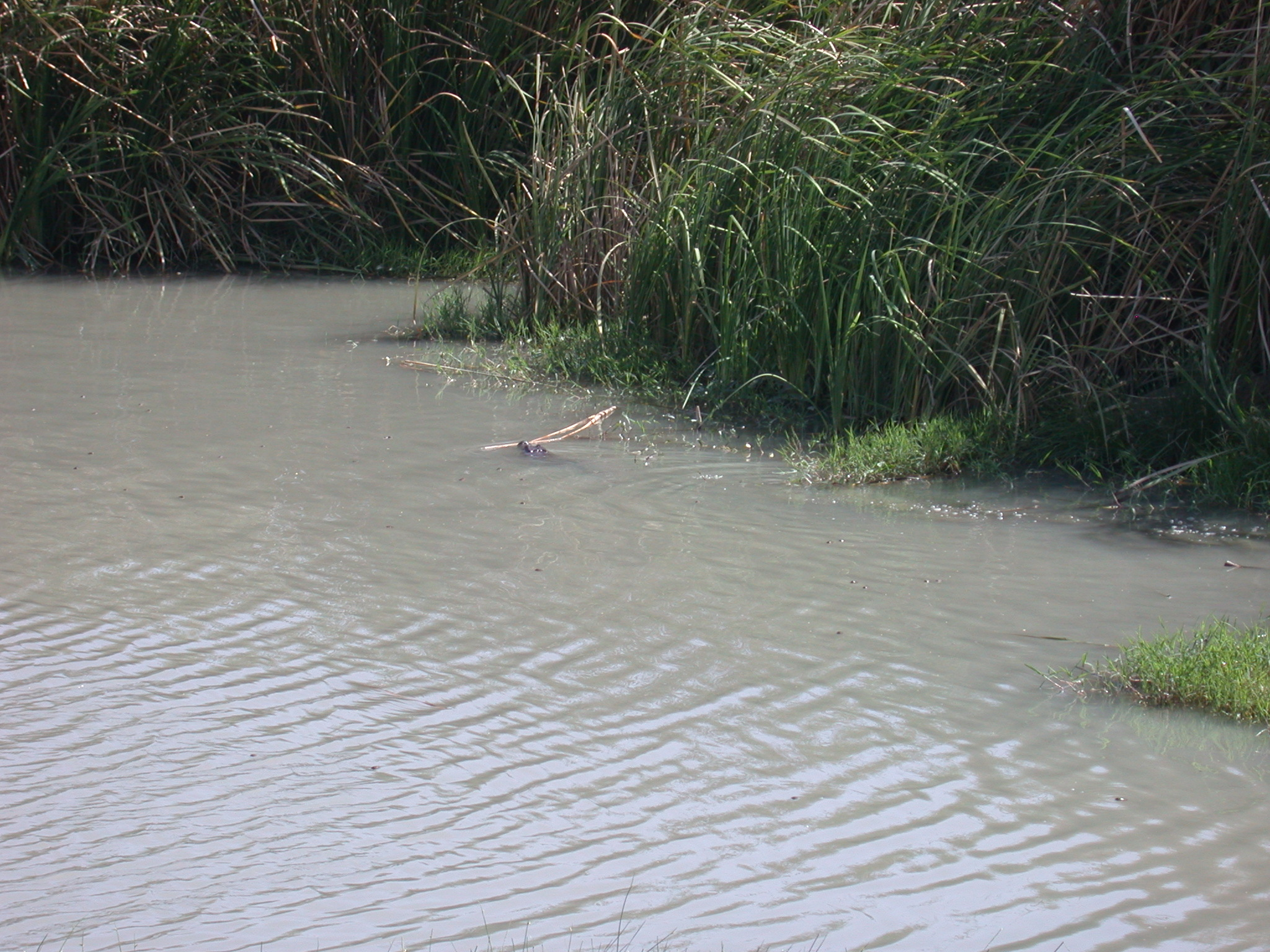 Crocodile at Hot Springs Near Bilen Lodge, Afar, Awash, Ethiopia