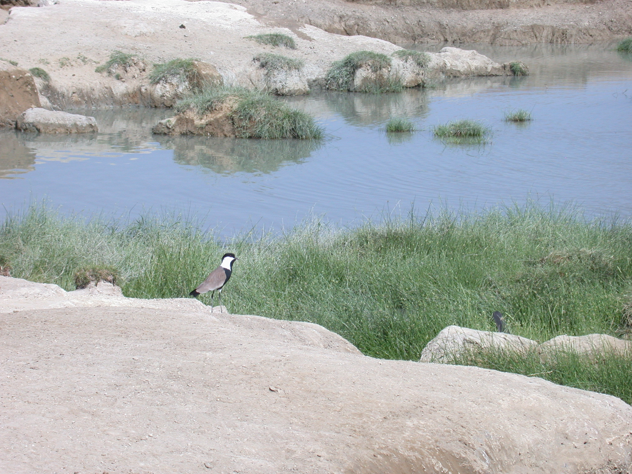 Bird at Hot Springs Near Bilen Lodge, Afar, Awash, Ethiopia