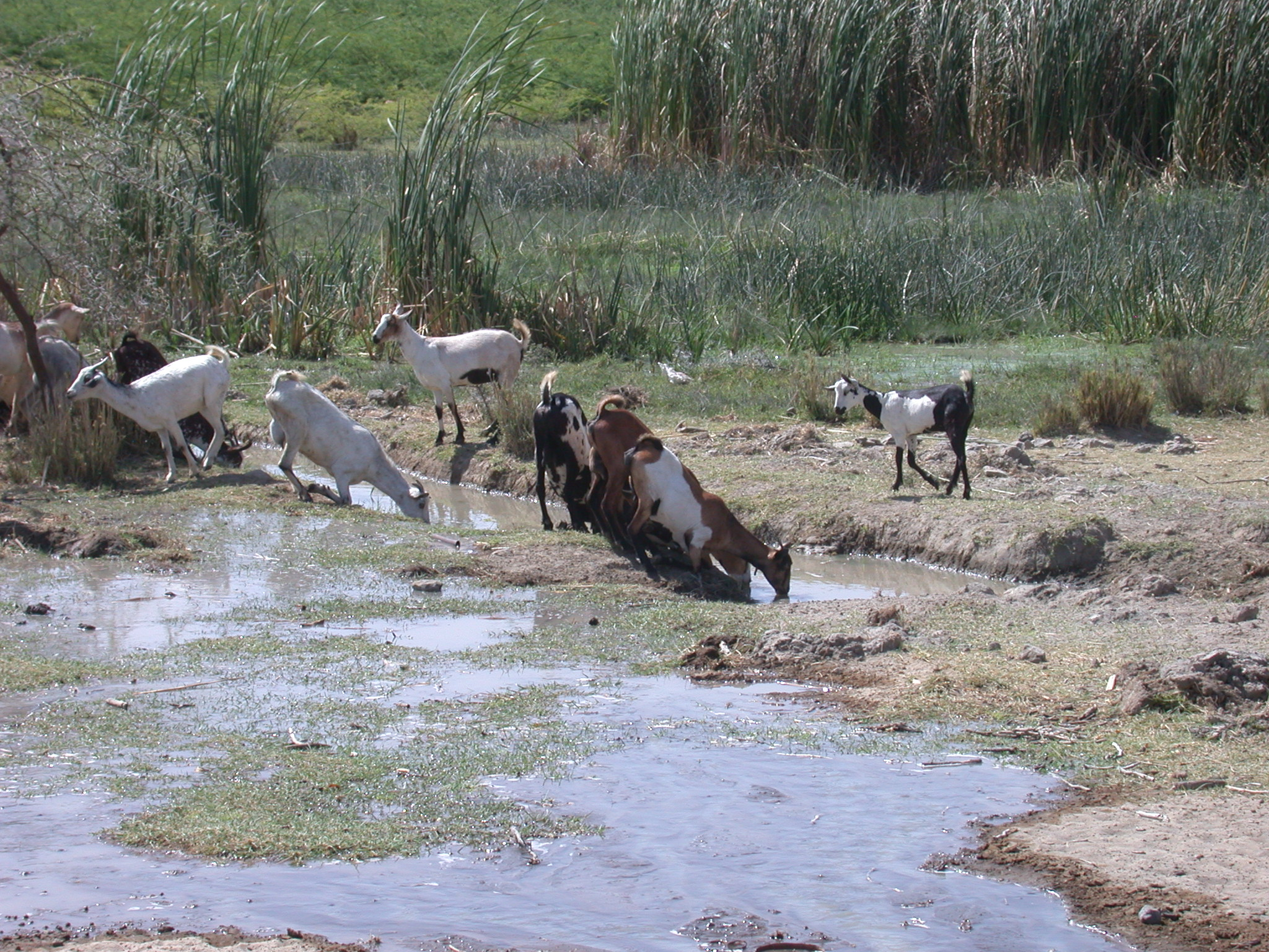 Goats Butts Up to Drink Near Bilen Lodge, Afar, Awash, Ethiopia