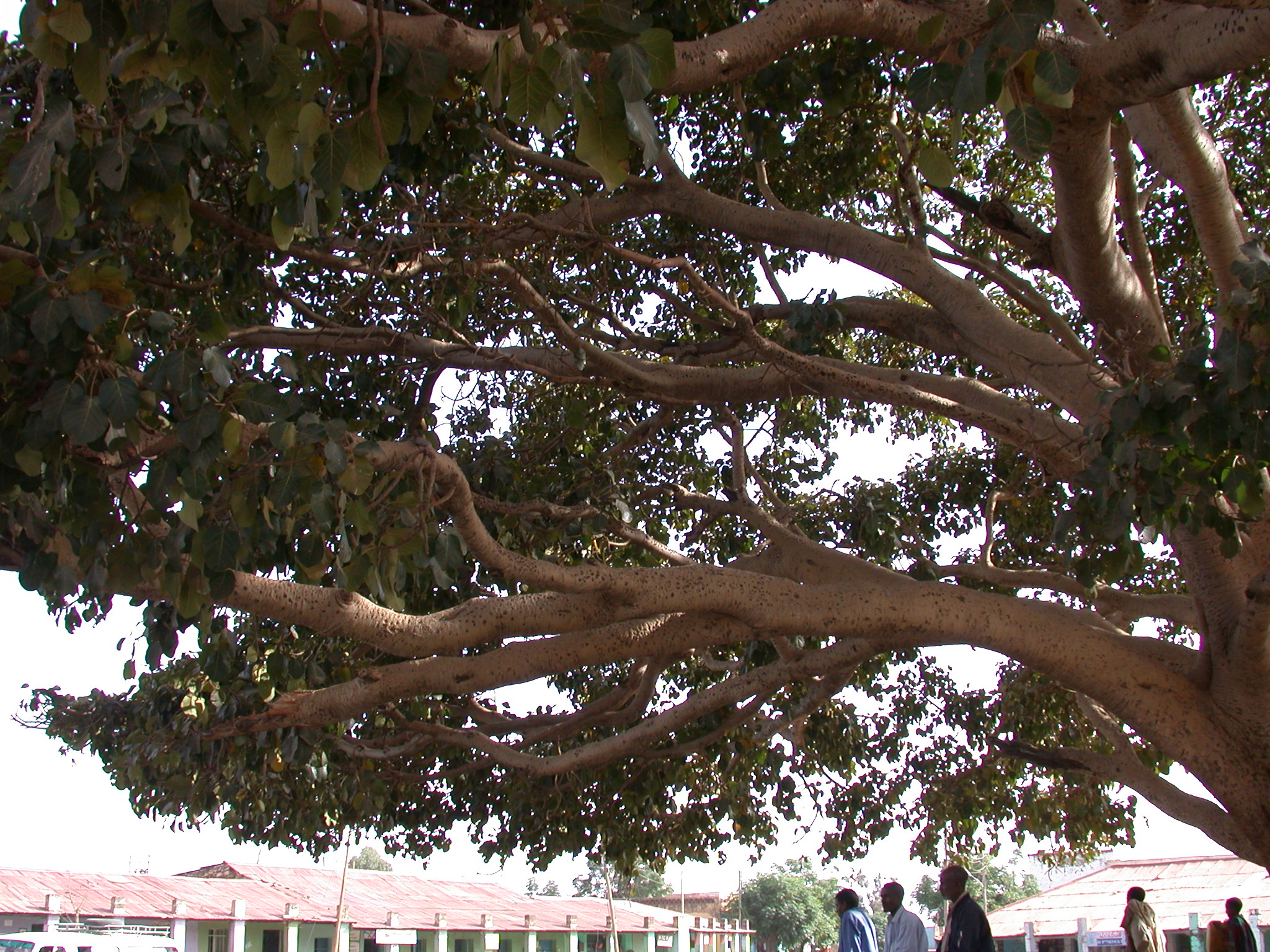 Sycamore Fig, Axum, Tigrai, Ethiopia