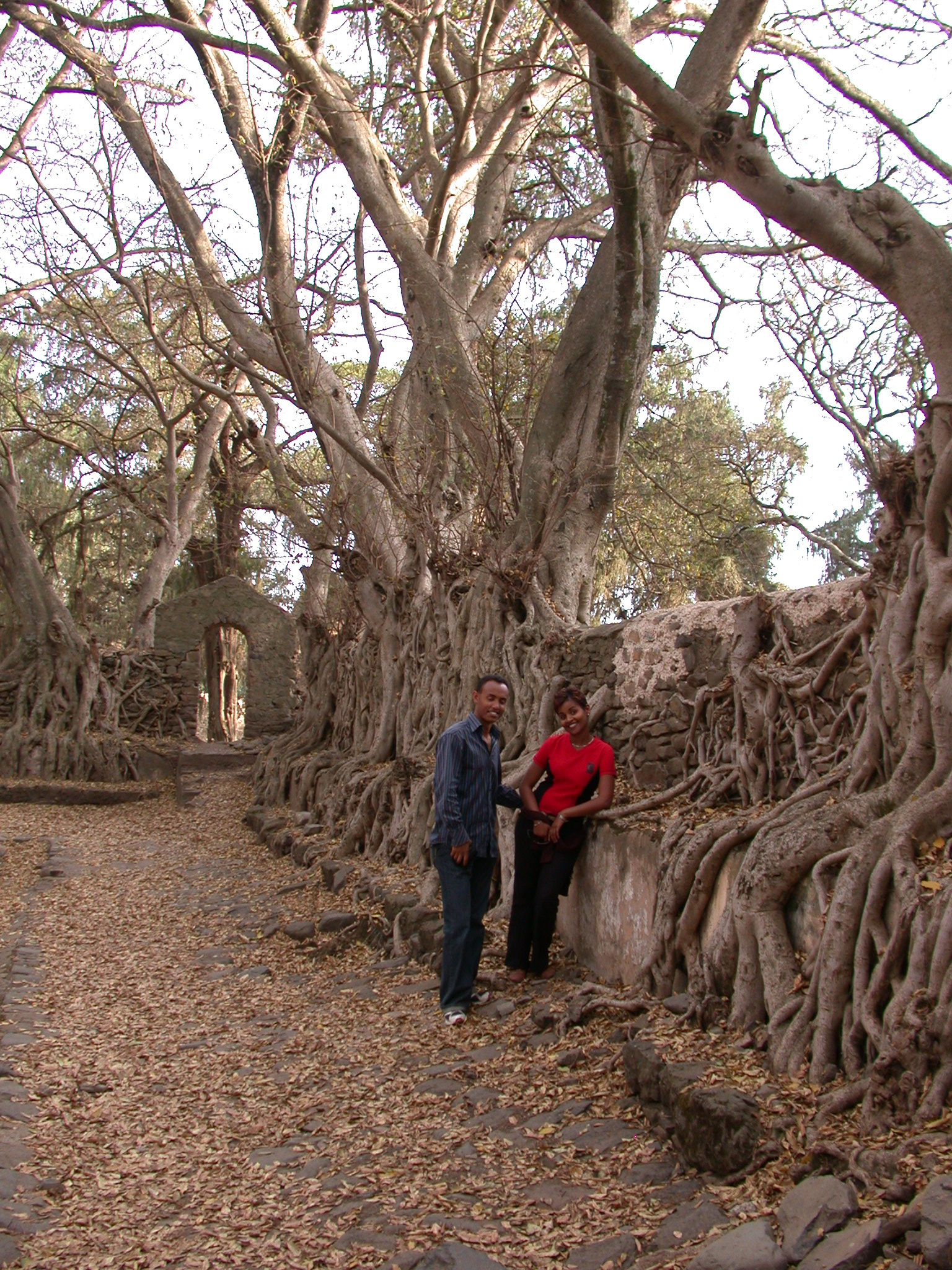 Old Tree Roots by Fasilidas Pool, Gonder, Ethiopia