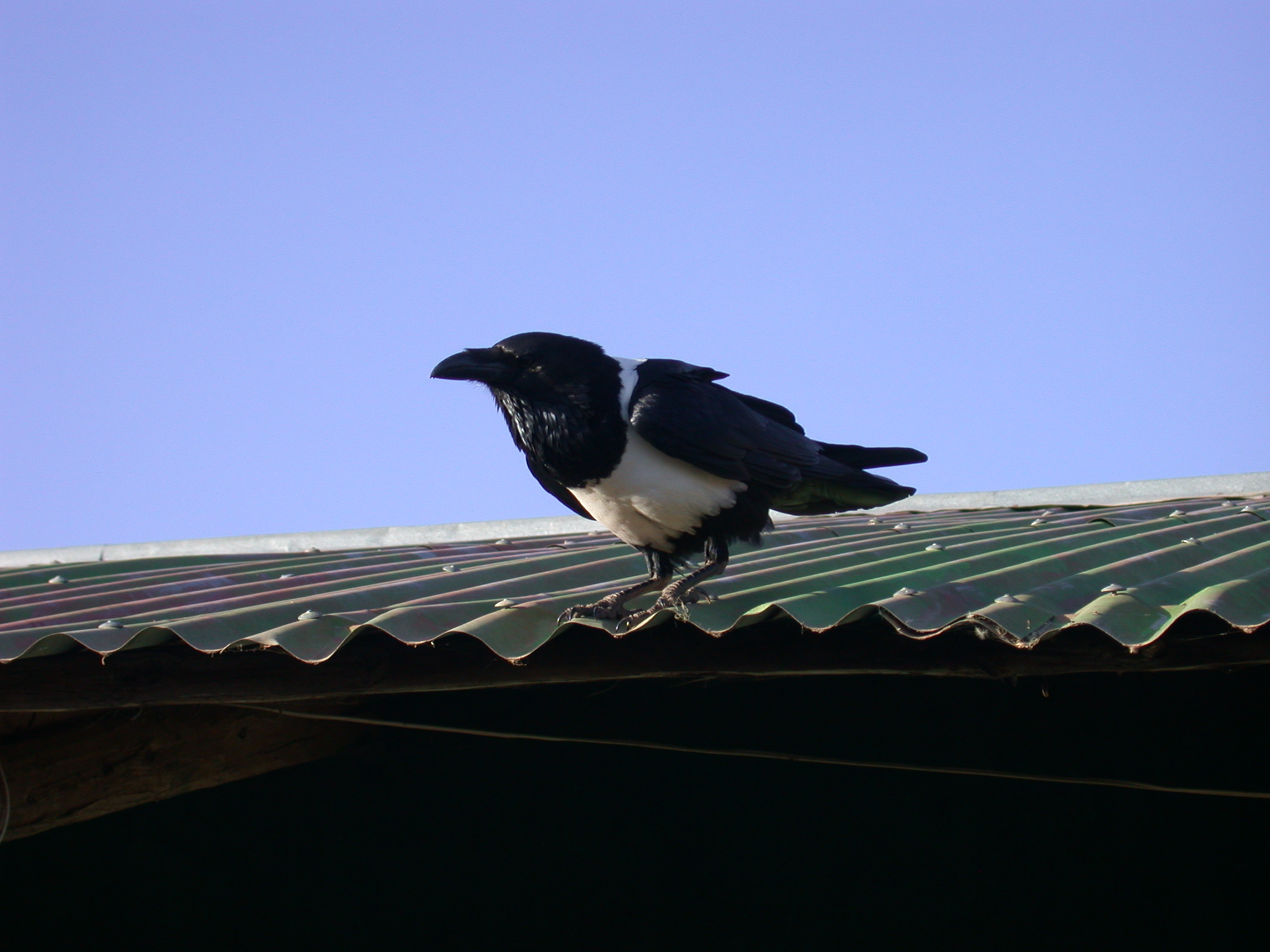 Bird on Lodge Roof, Trek at Sankaber Camp, Simien Mountains, Ethiopia