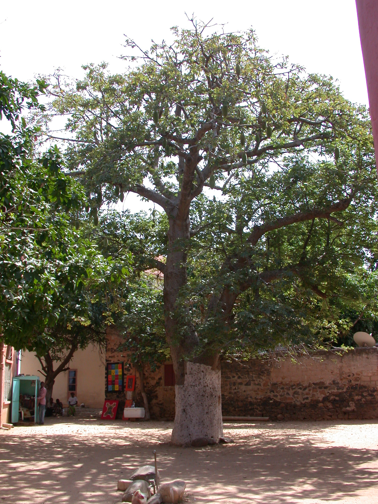 Jackfruit Tree, Ile de Goree, Dakar, Senegal