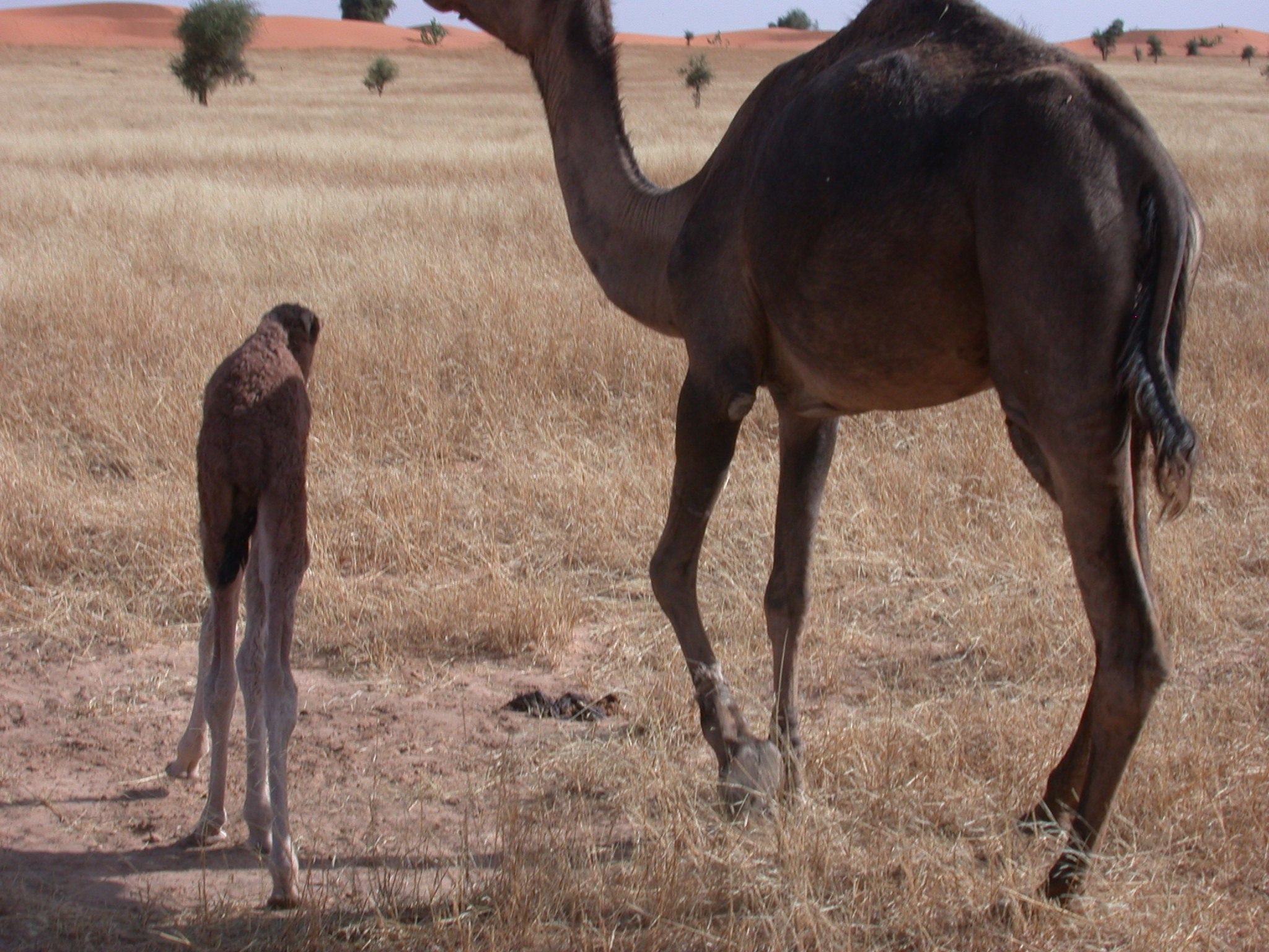 Mother and Baby Camel on Route from Koumbi Salah to Timbedra, Mauritania