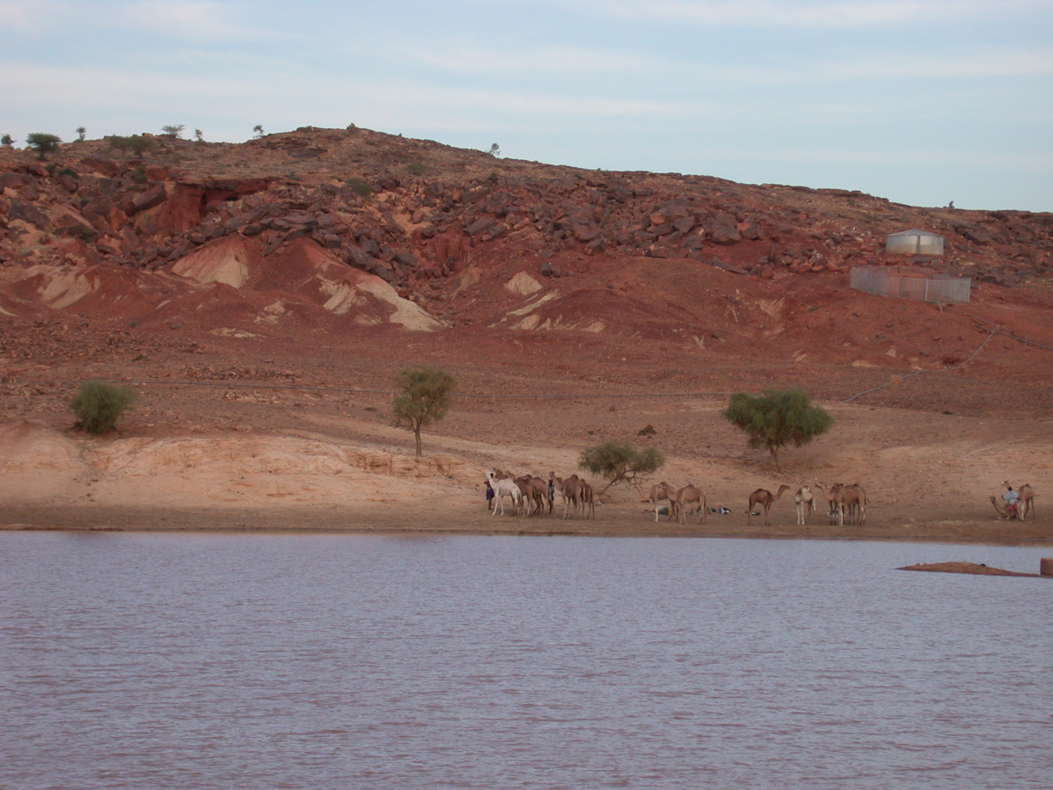 Camels at Reservoir, Oualata, Mauritania
