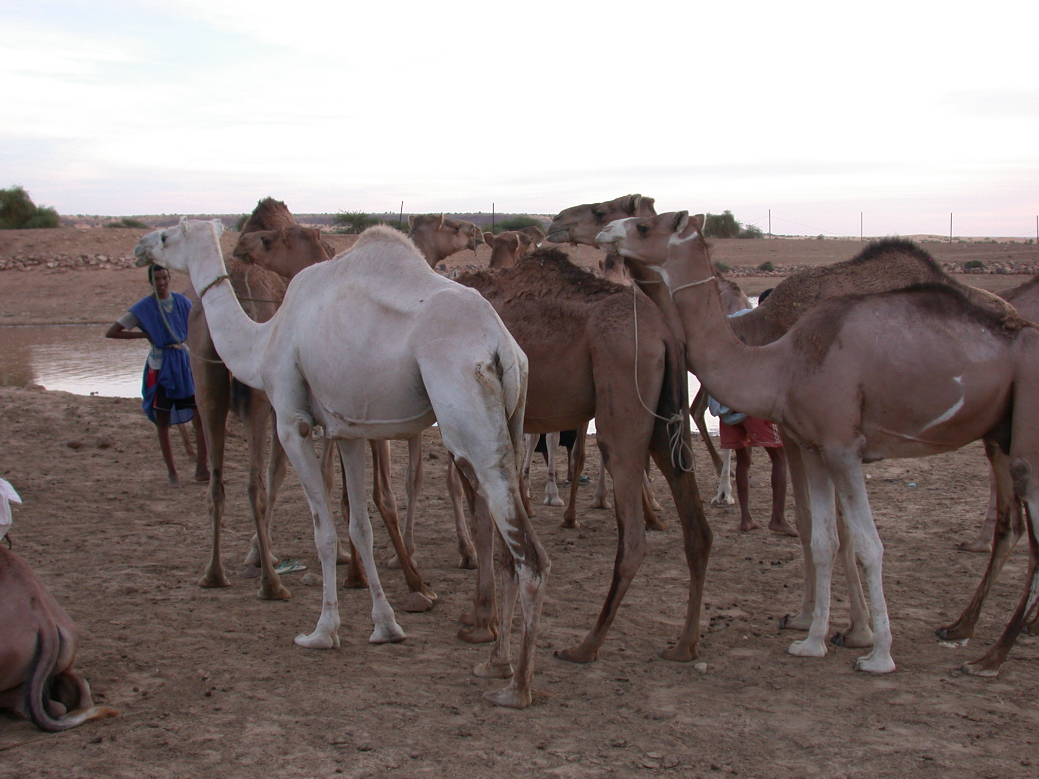 Camels and Tender at Reservoir, Oualata, Mauritania