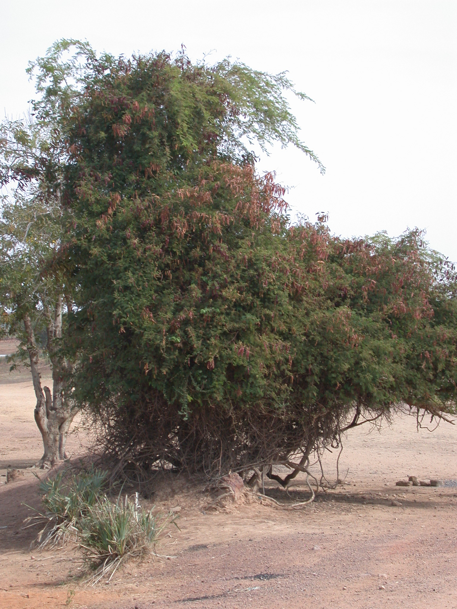 Probably Tamarind Tree on Road From Nioro to Massina, Mali