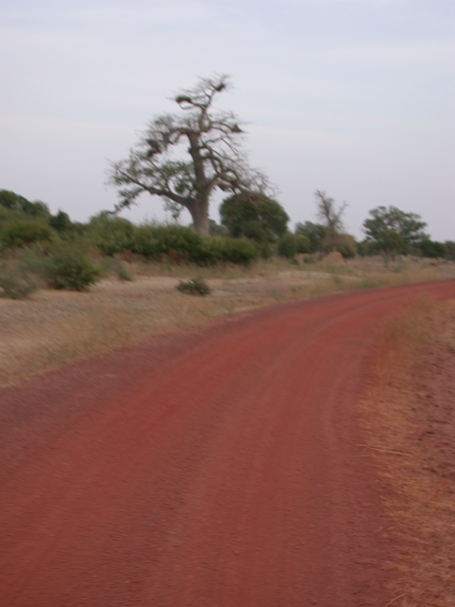 Baobab and Red Soil on Road From Massina to Say, Mali