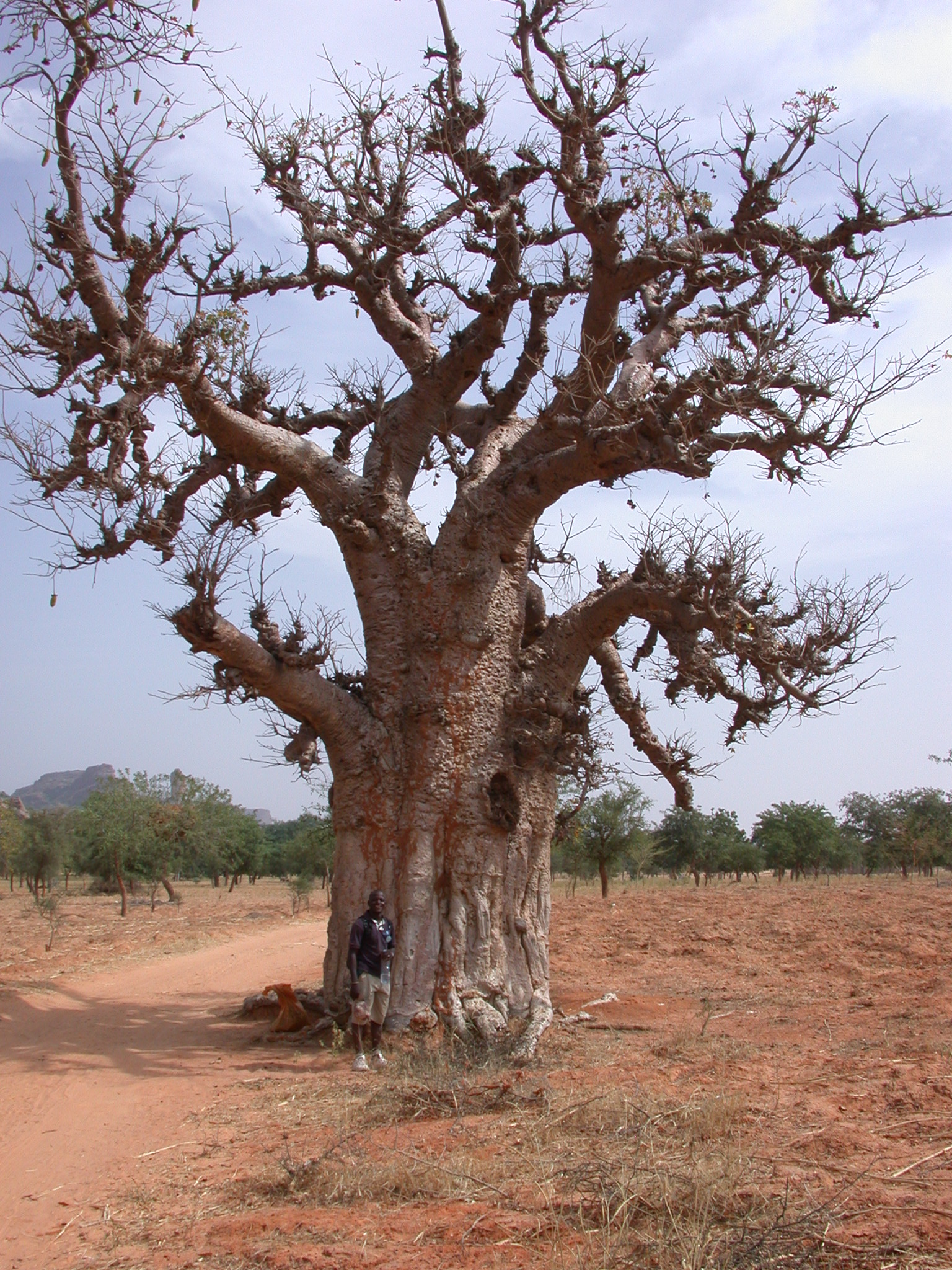 Baobab Tree on Path From Tellem Village to Ennde Village, Dogon Country, Mali