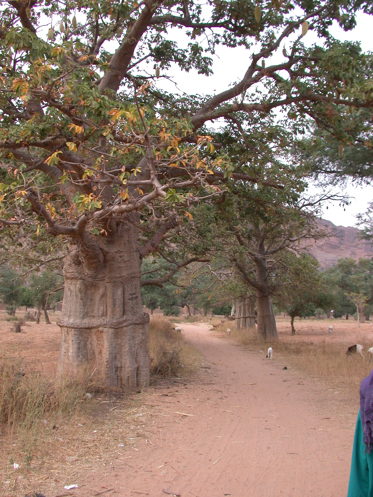Baobab Trees on Path From Tellem Village to Ennde Village, Dogon Country, Mali