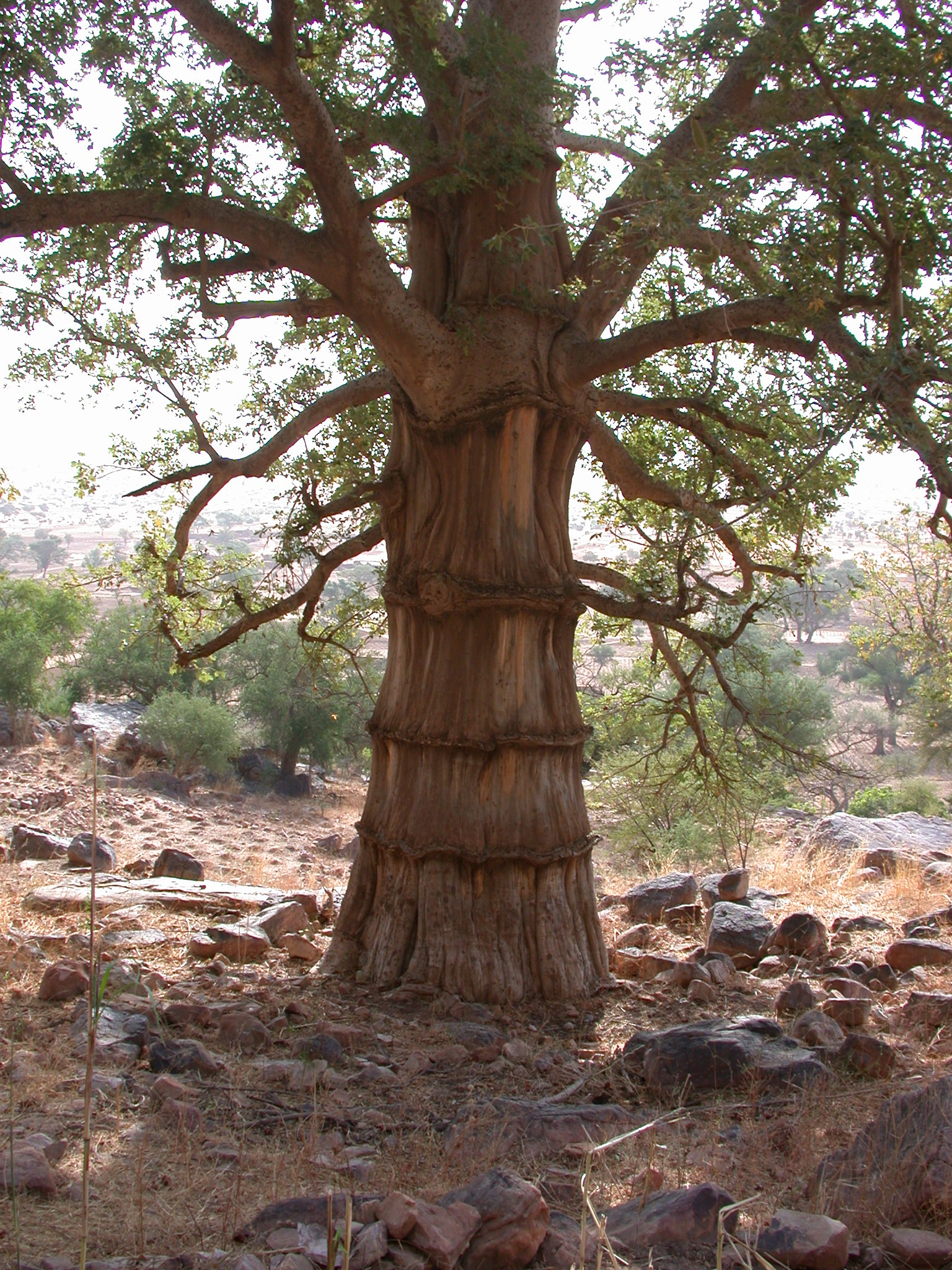 Gnarly Baobab Tree Near Ennde Village, Dogon Country, Mali