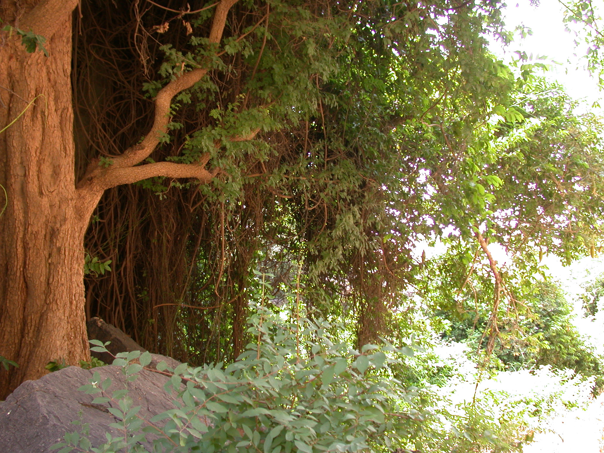 Nice Tree on Route to Begnetmoto Village, Dogon Country, Mali