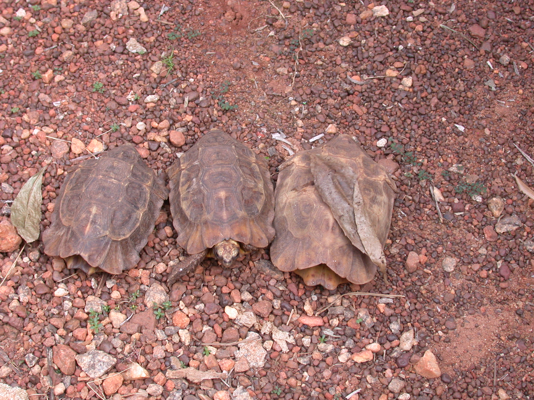 Live Turtle and Turtle Ancestor Shells Inhabiting Tree Grove in Courtyard, Asante Traditional Shrine at Ejisu-Besease, Ghana