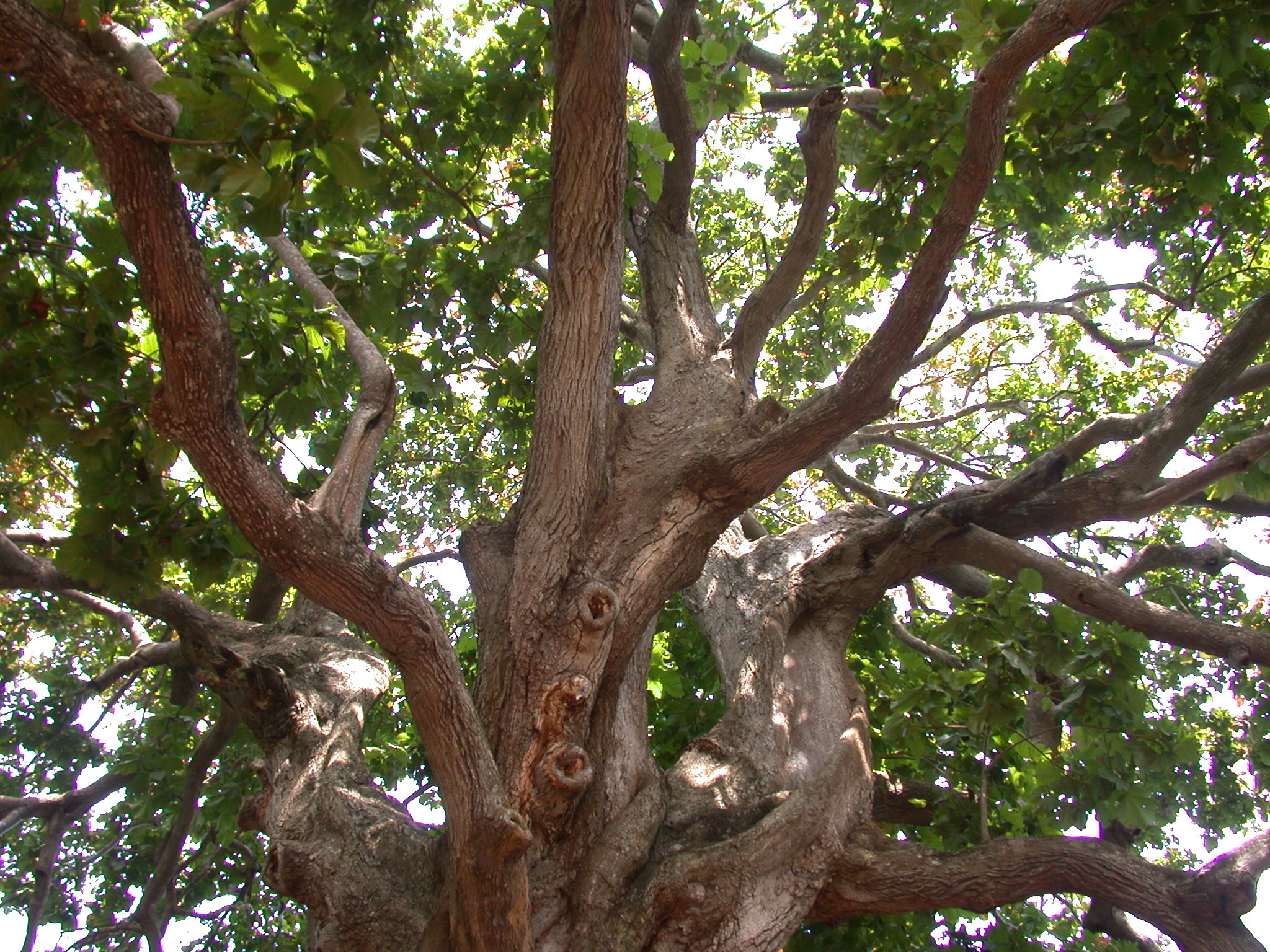 Large Gnarly Tree, Kpasse Sacred Forest, Ouidah, Benin
