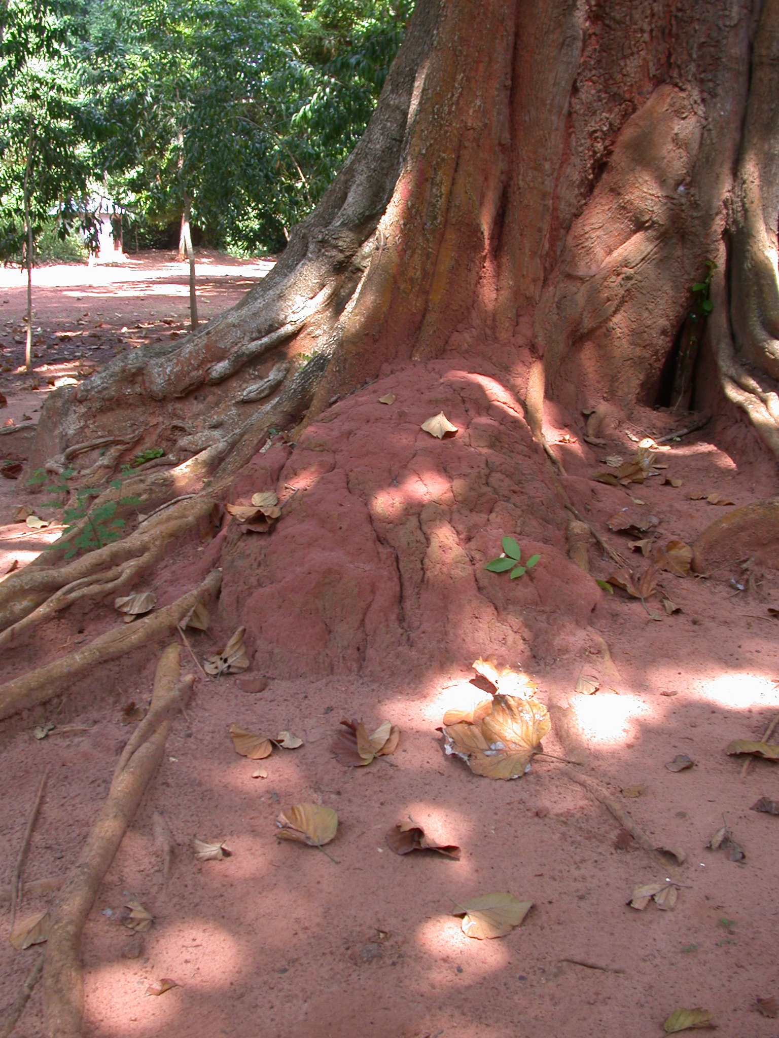 Termite or Ceremonial Mound at Bottom of Trunk of Large Gnarly Tree, Kpasse Sacred Forest, Ouidah, Benin
