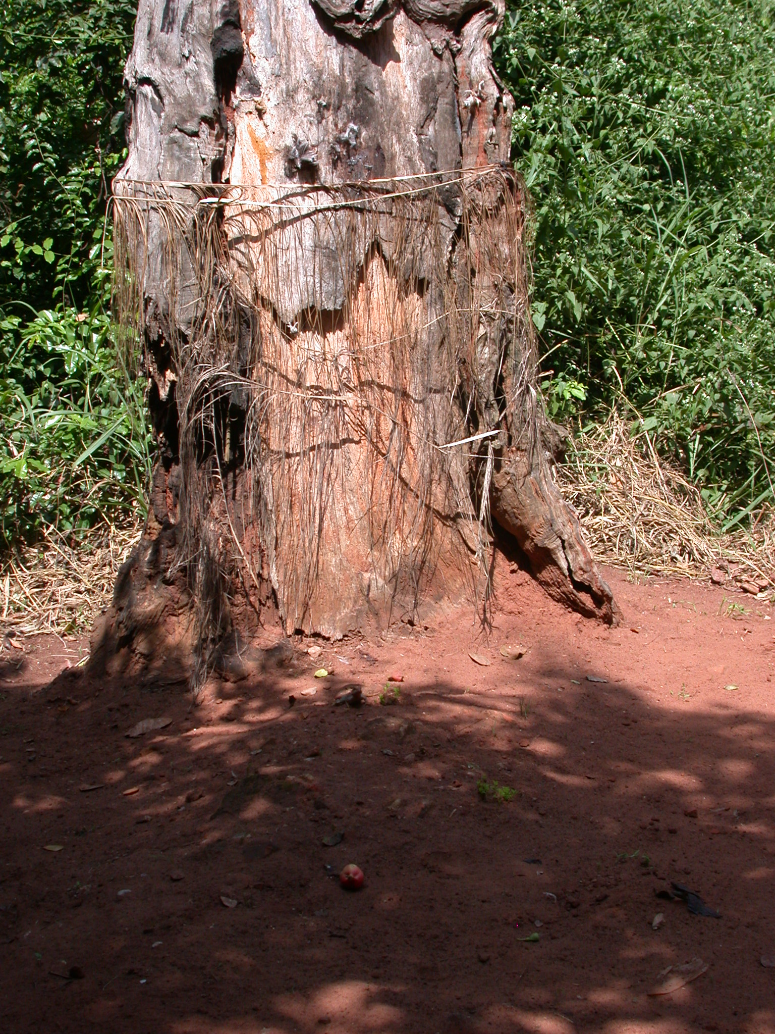 Raffia on Tree Trunk Shrine, Kpasse Sacred Forest, Ouidah, Benin
