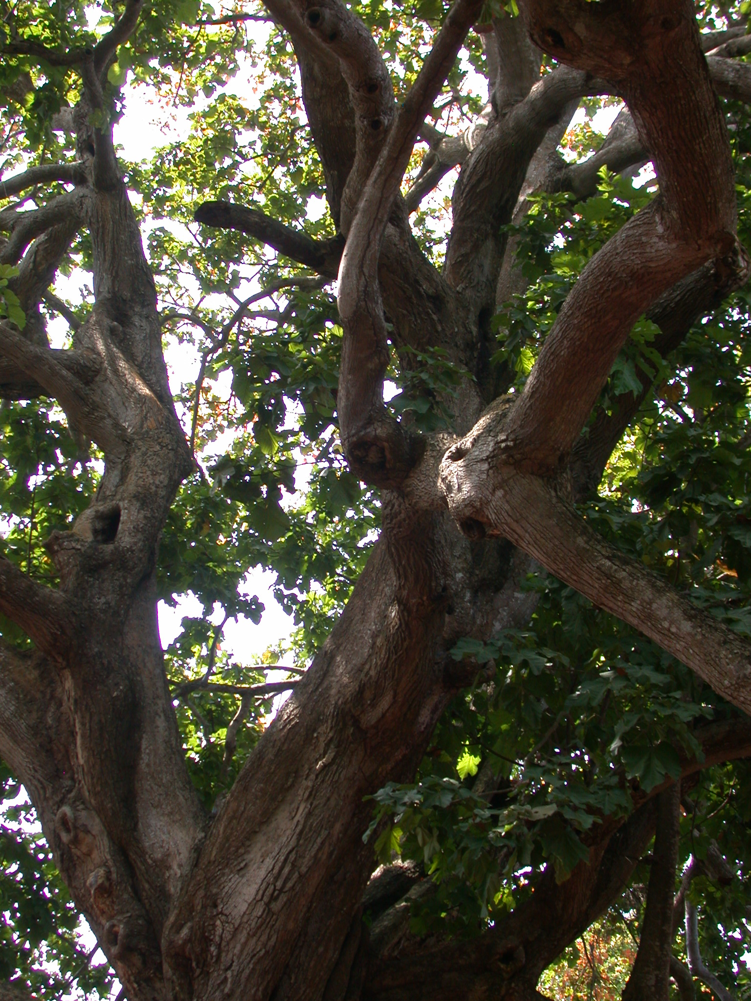 Crest of Large Gnarly Tree, Kpasse Sacred Forest, Ouidah, Benin