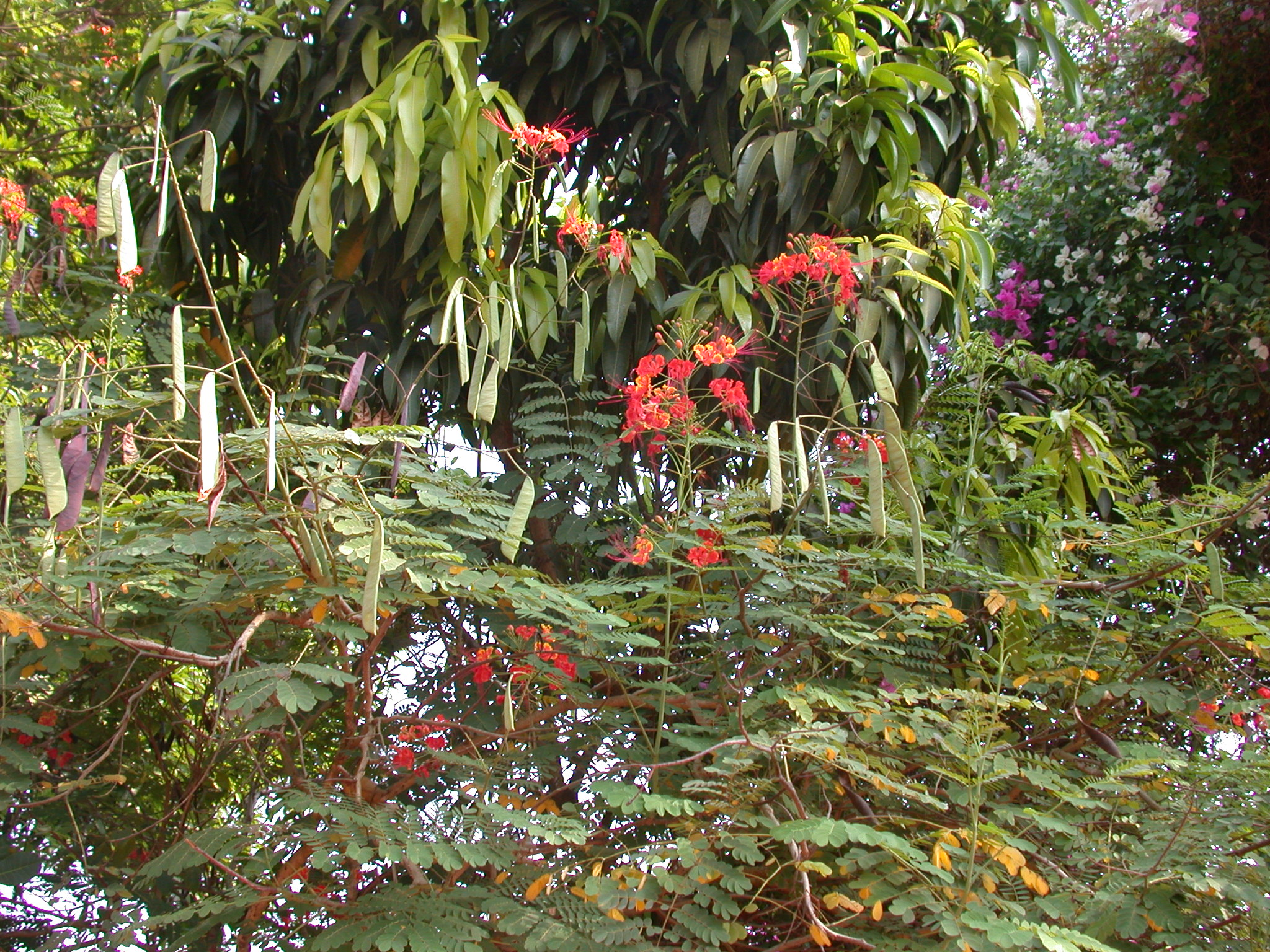 Flowering Tree Whose Infusion Treats Malaria, Abomey, Benin