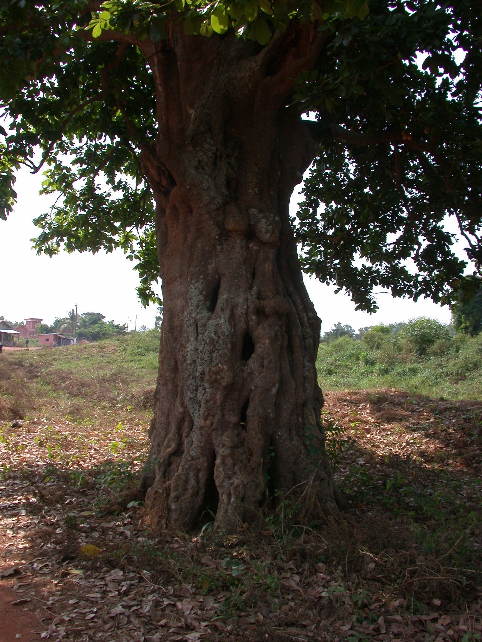 Gnarly Hollow Tree at Ruins of Palace of King Agadja, Abomey, Benin
