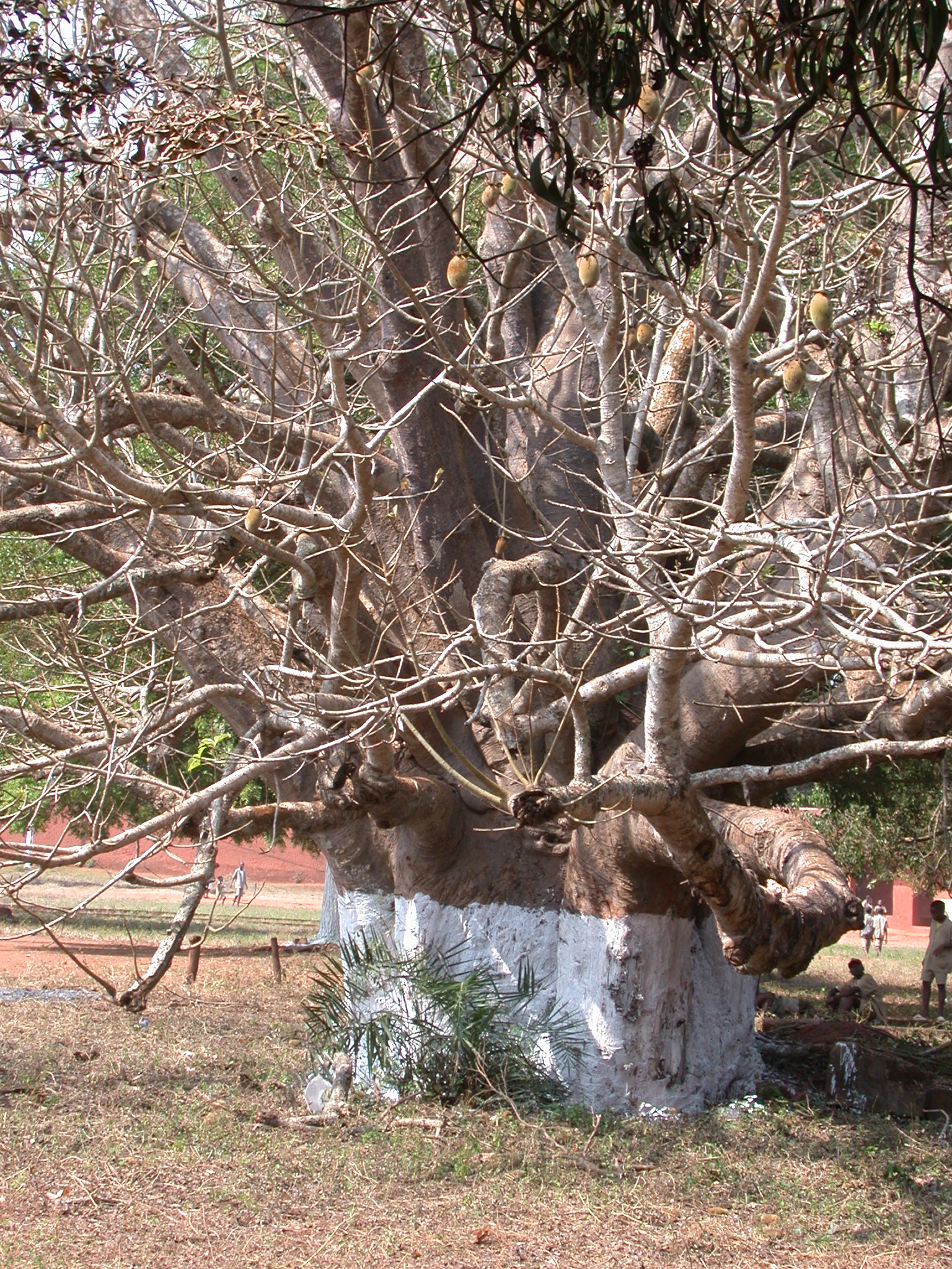 Large Old Tree in Front of Abomey History Museum in Main Complex of Palaces, Abomey, Benin