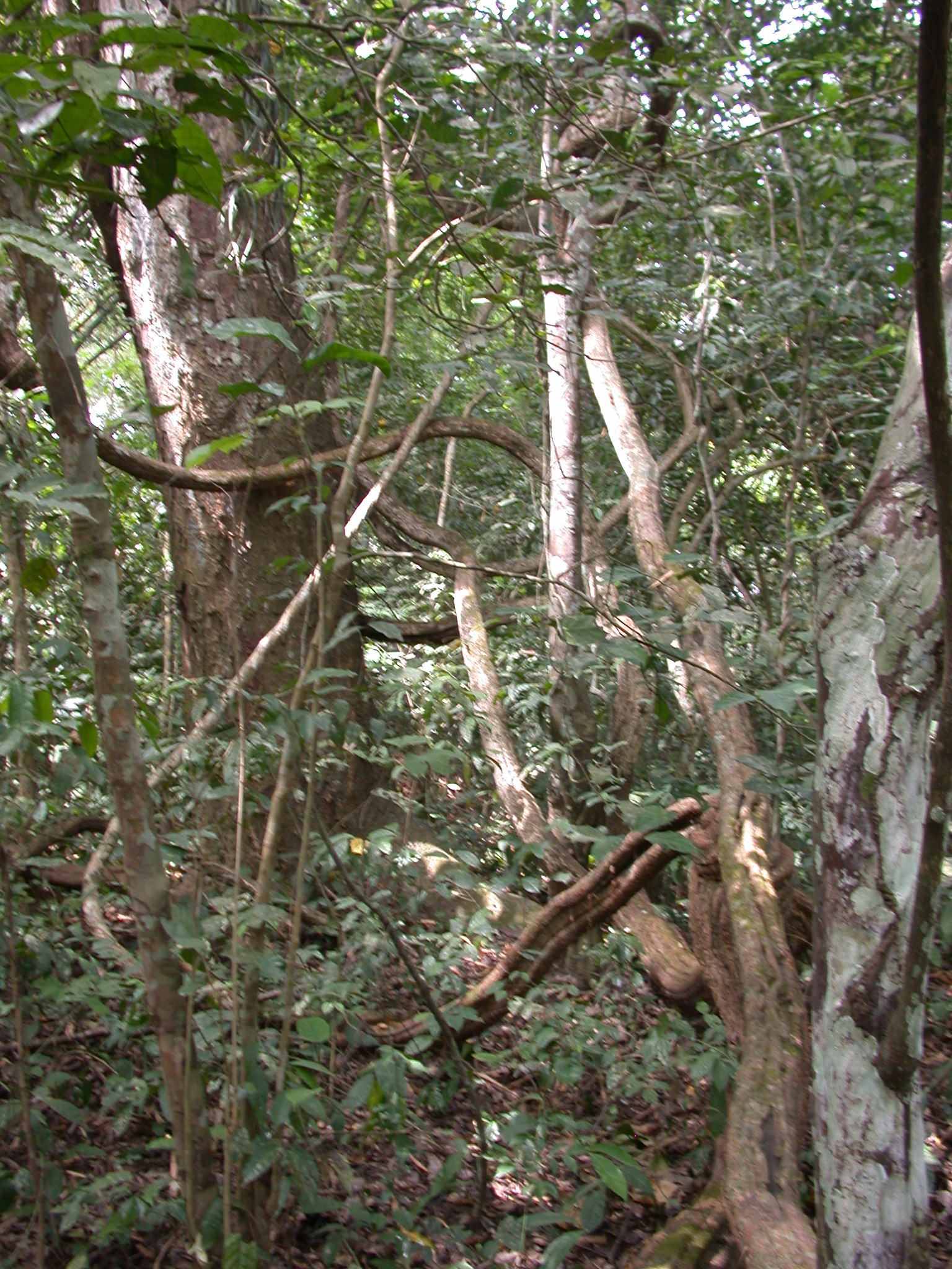 Wild Tree Branches, Osun Sacred Grove, Oshogbo, Nigeria