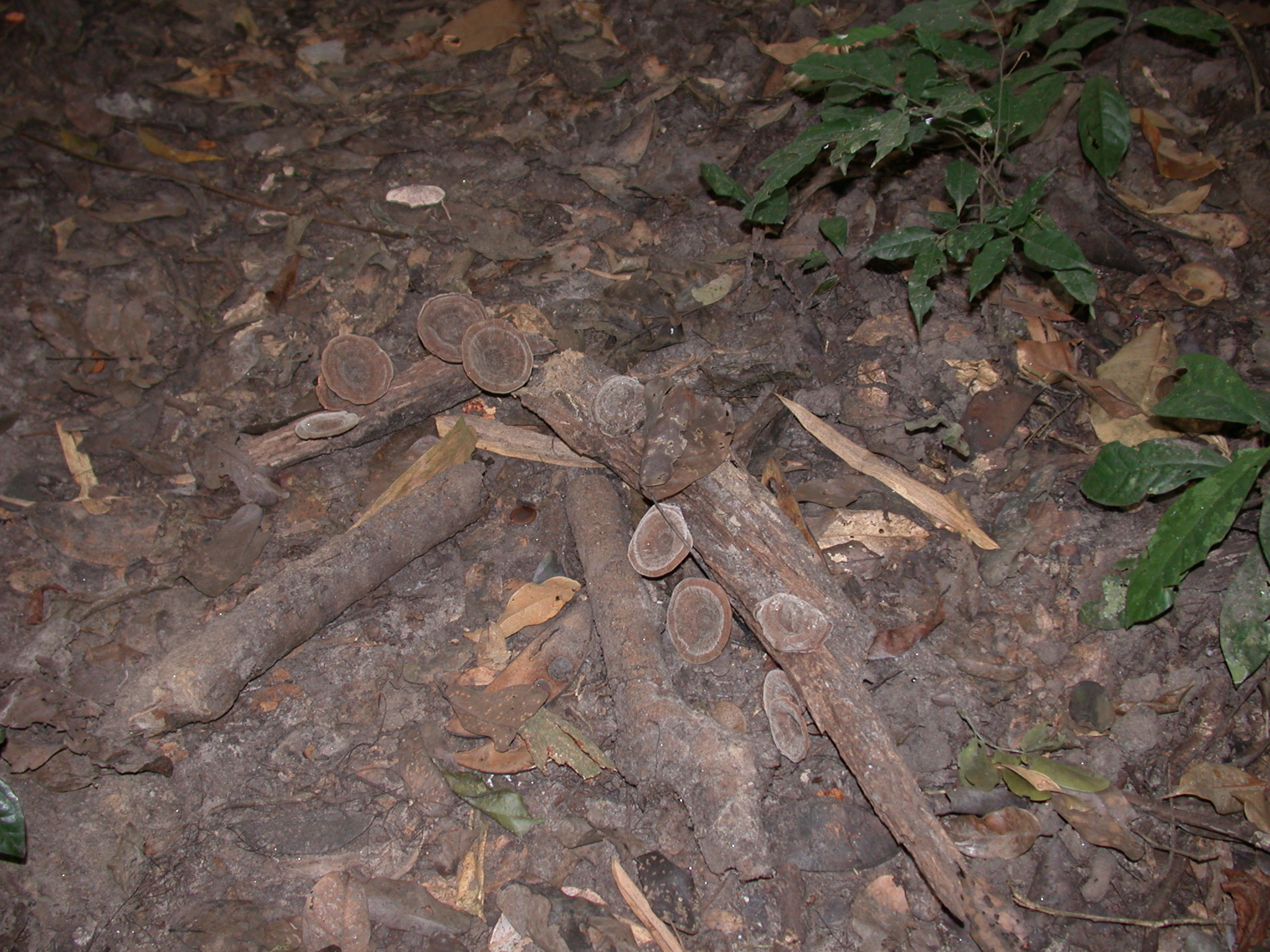 Magic Mushrooms, Osun Sacred Grove, Oshogbo, Nigeria