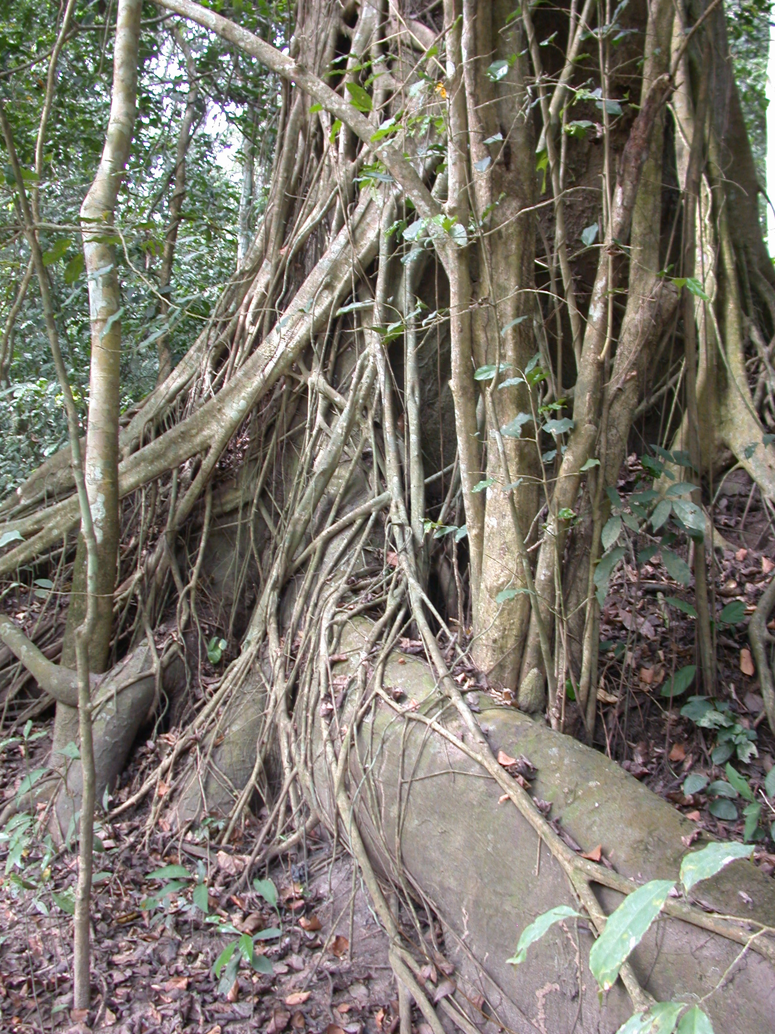 Well-Rooted Tree, Osun River Bank, Osun Sacred Grove, Oshogbo, Nigeria
