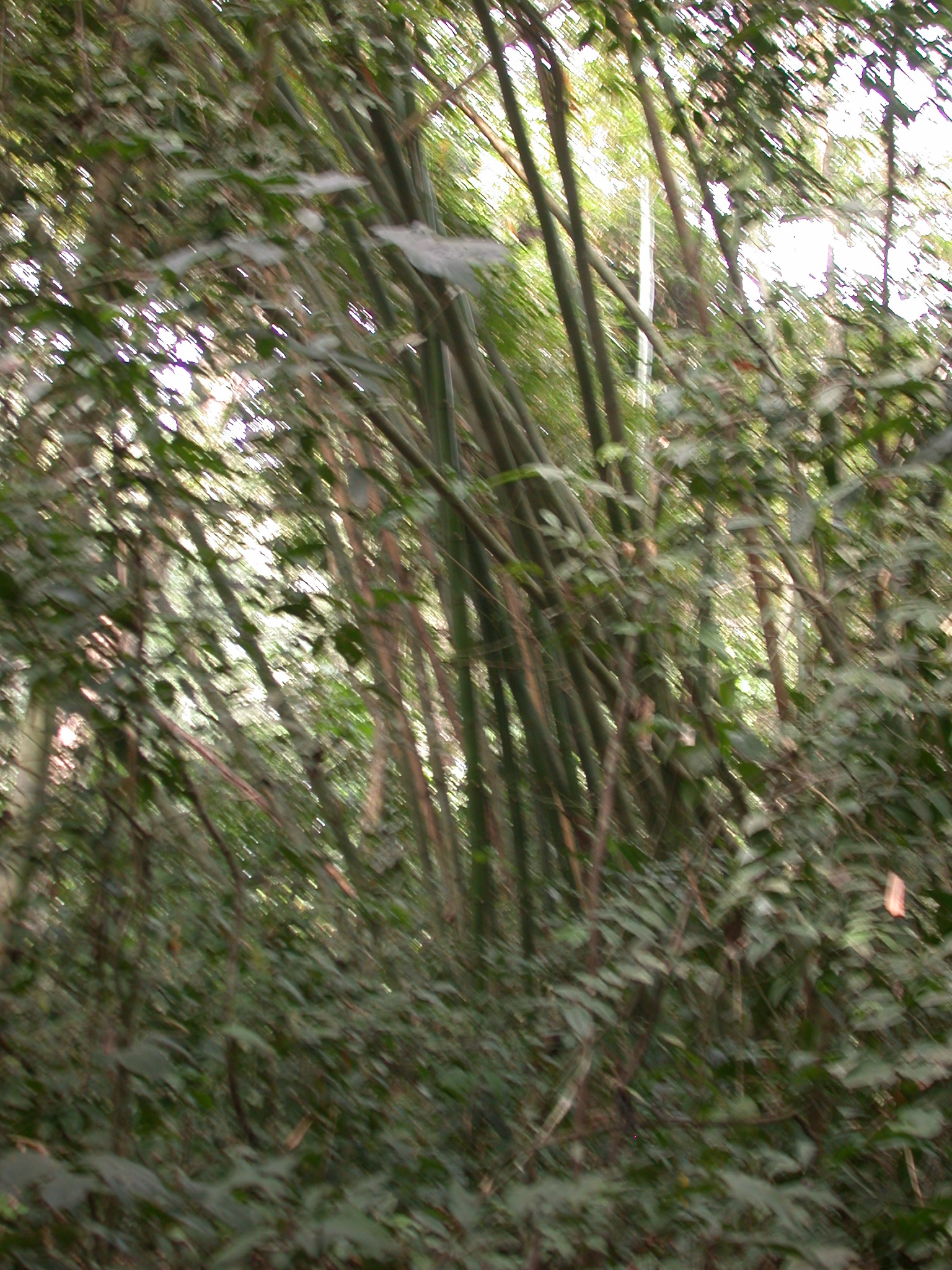 Bamboo by Osun River, Osun Sacred Grove, Oshogbo, Nigeria