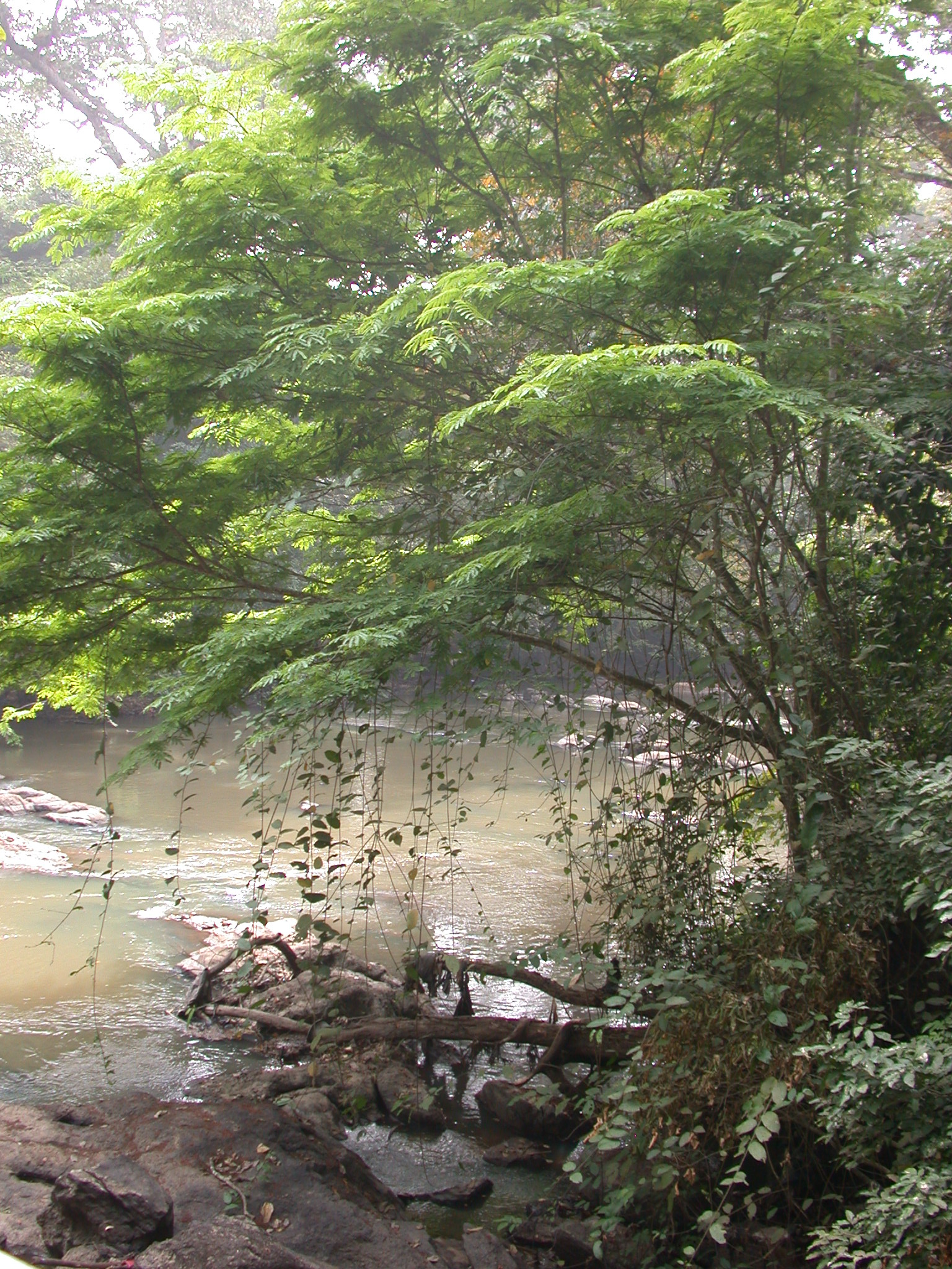 Tree With Vines Dangling Into Osun River, Osun Sacred Grove, Oshogbo, Nigeria