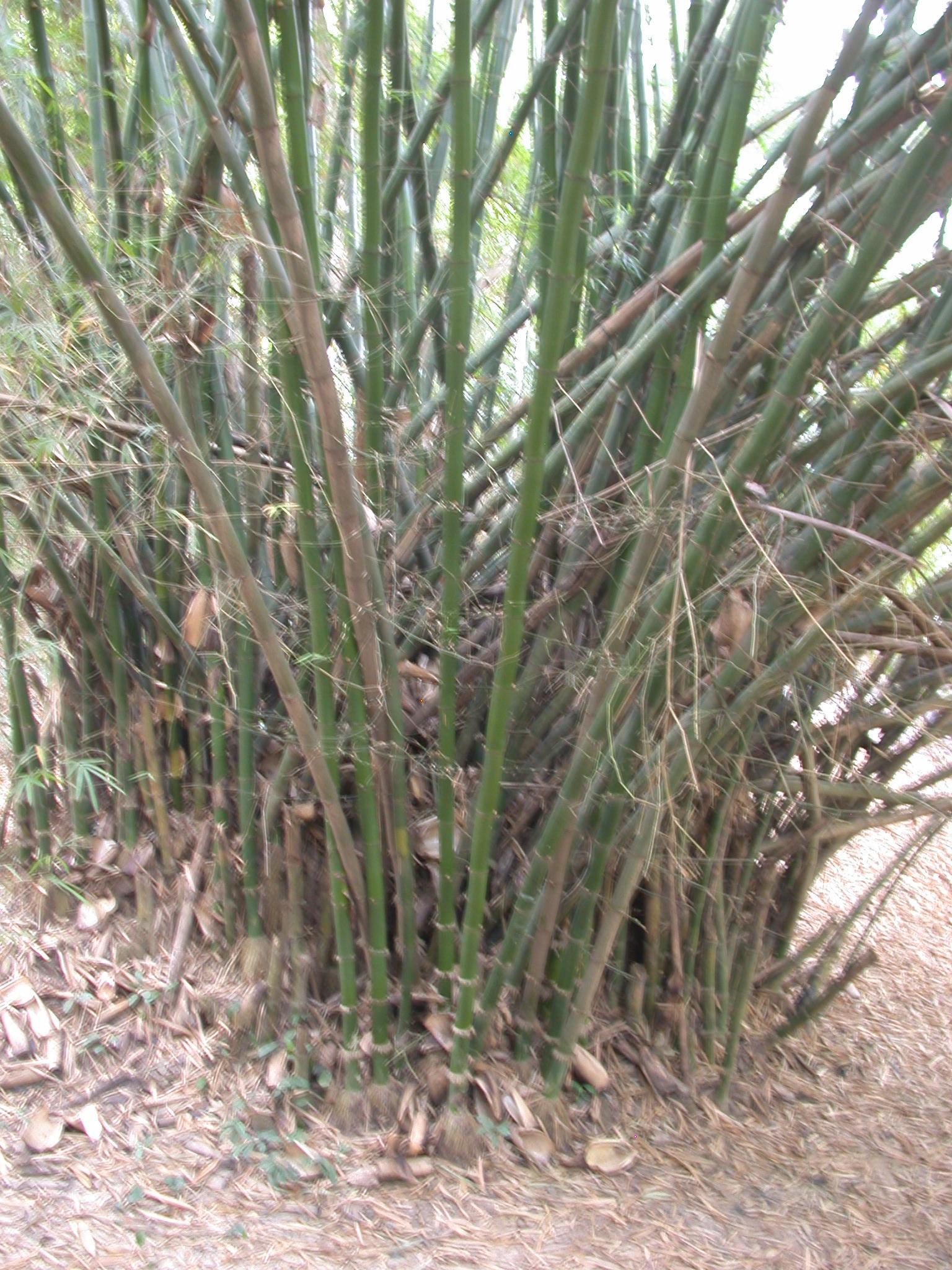 Bamboo Cluster by Osun River, Osun Sacred Grove, Oshogbo, Nigeria