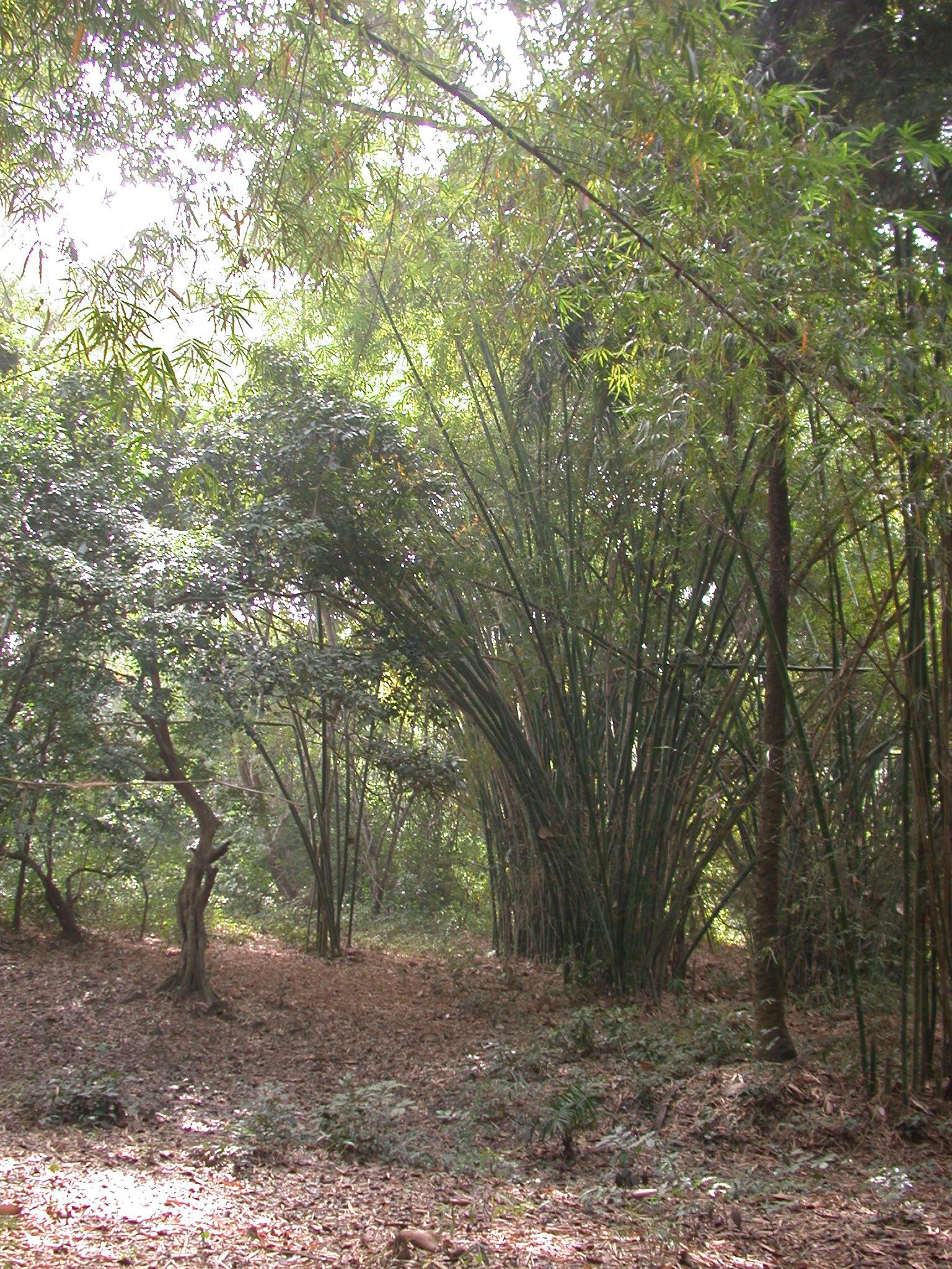 Bamboo Grove, Osun Sacred Grove, Oshogbo, Nigeria