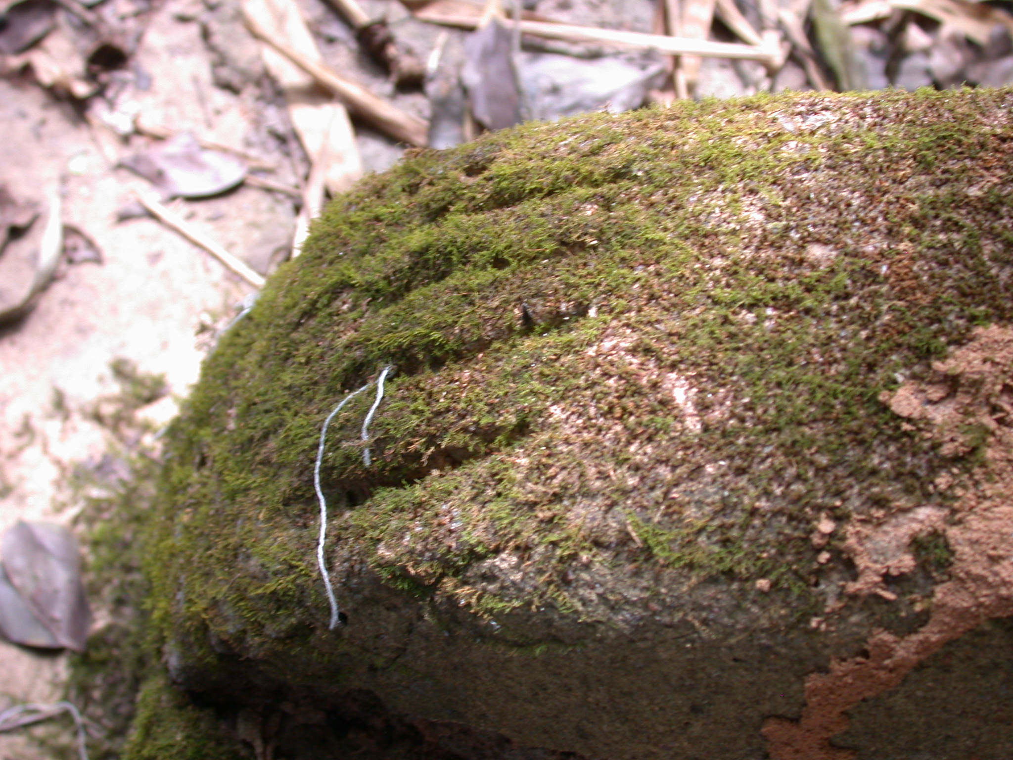 Mossy Foot at Chair Sculpture Shrine, Osun Sacred Grove, Oshogbo, Nigeria