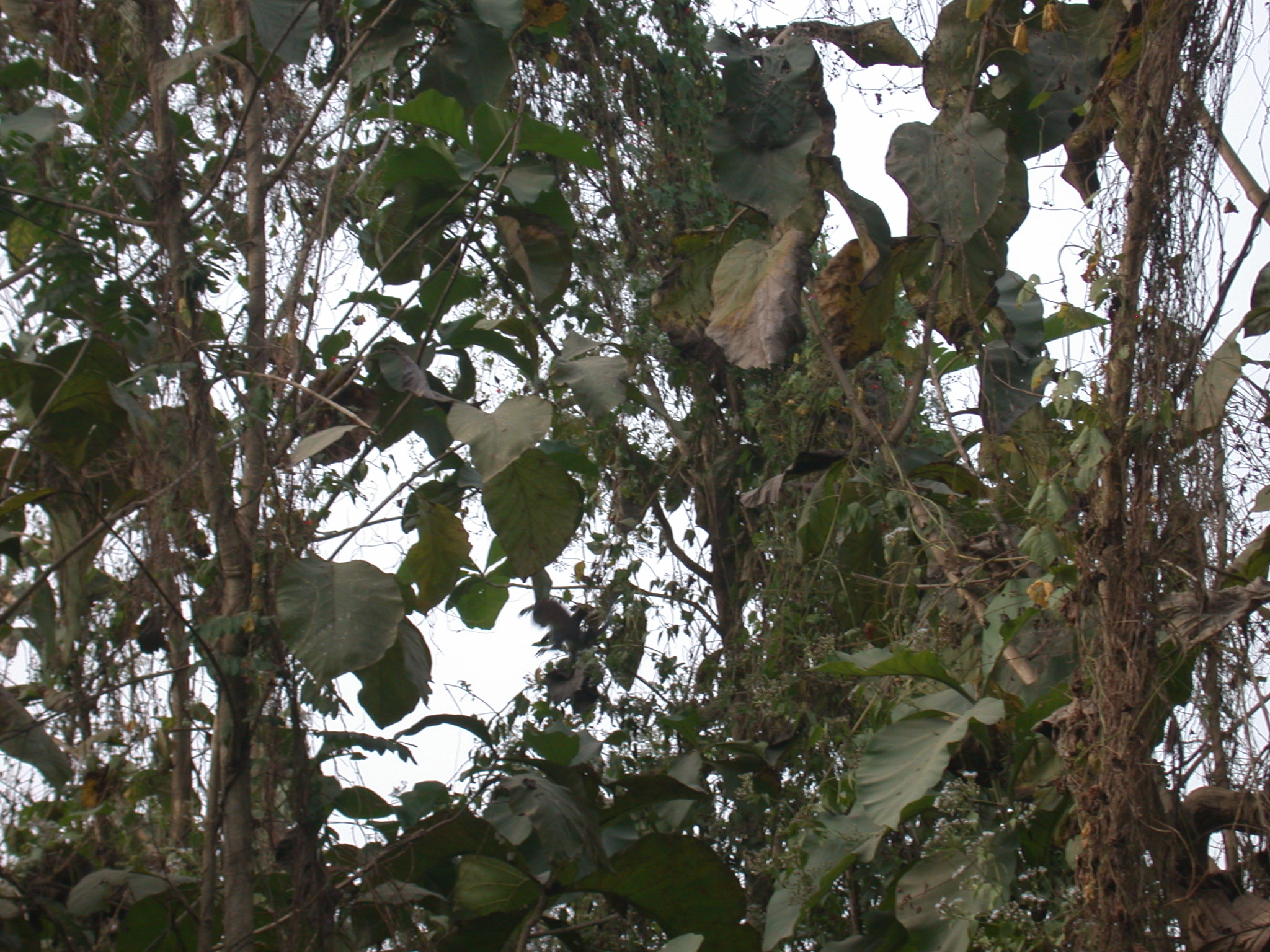 Monkeys Hiding in Vegetation by Access Road, Osun Sacred Grove, Oshogbo, Nigeria
