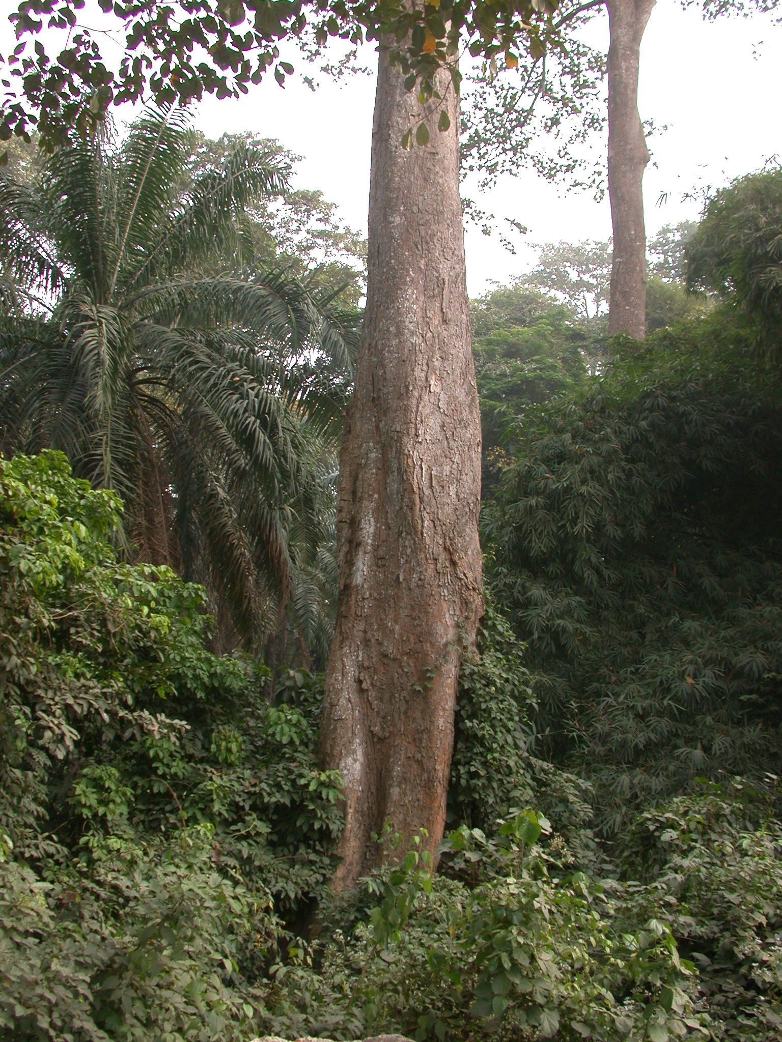 Tall Trees by Access Road, Osun Sacred Grove, Oshogbo, Nigeria